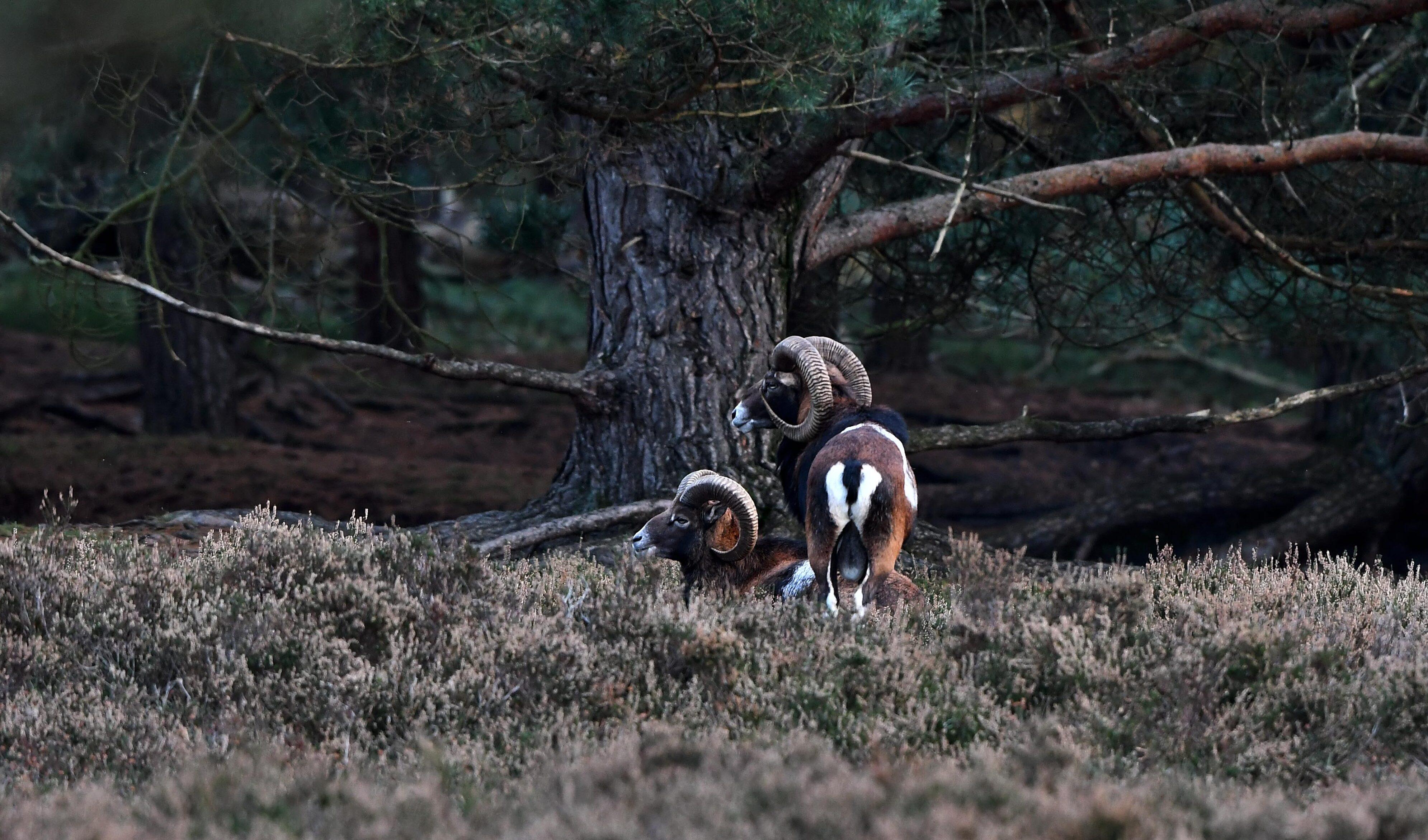 Twee schitterende moeflonrammen in de schaduw van een oude dennenboom – Foto: ©Louis Fraanje