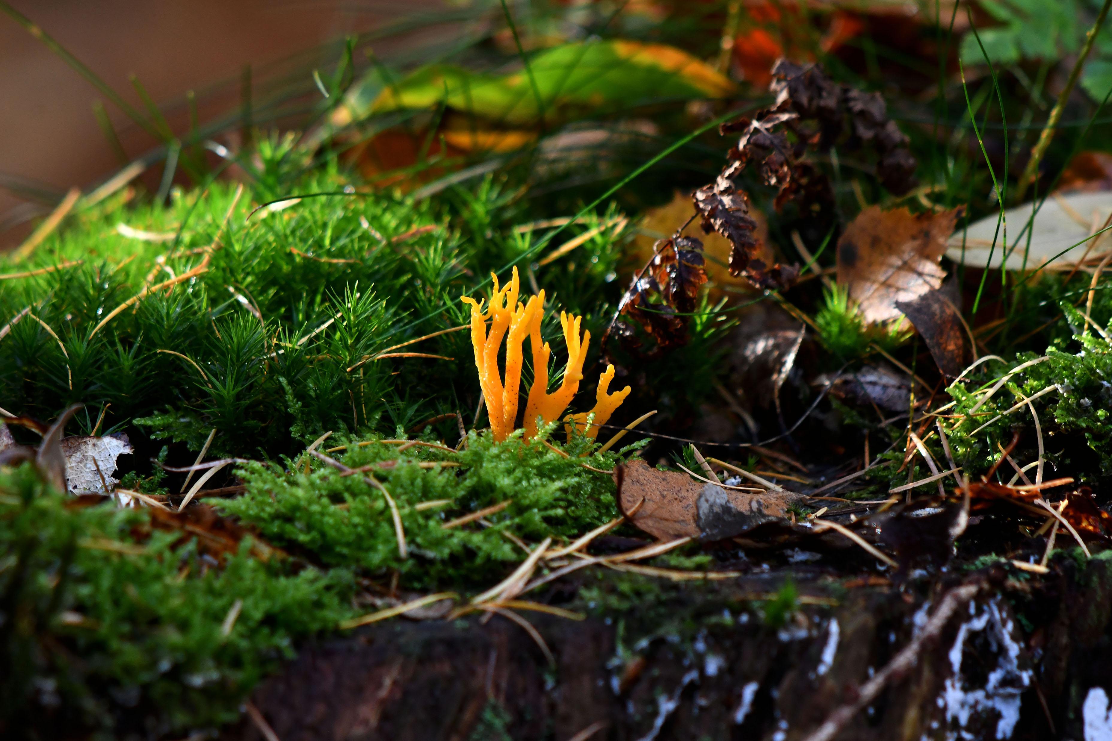 Een prachtig oranje gekleurd kleverig koraalzwammetje tussen het groene mos - Foto: ©Louis Fraanje