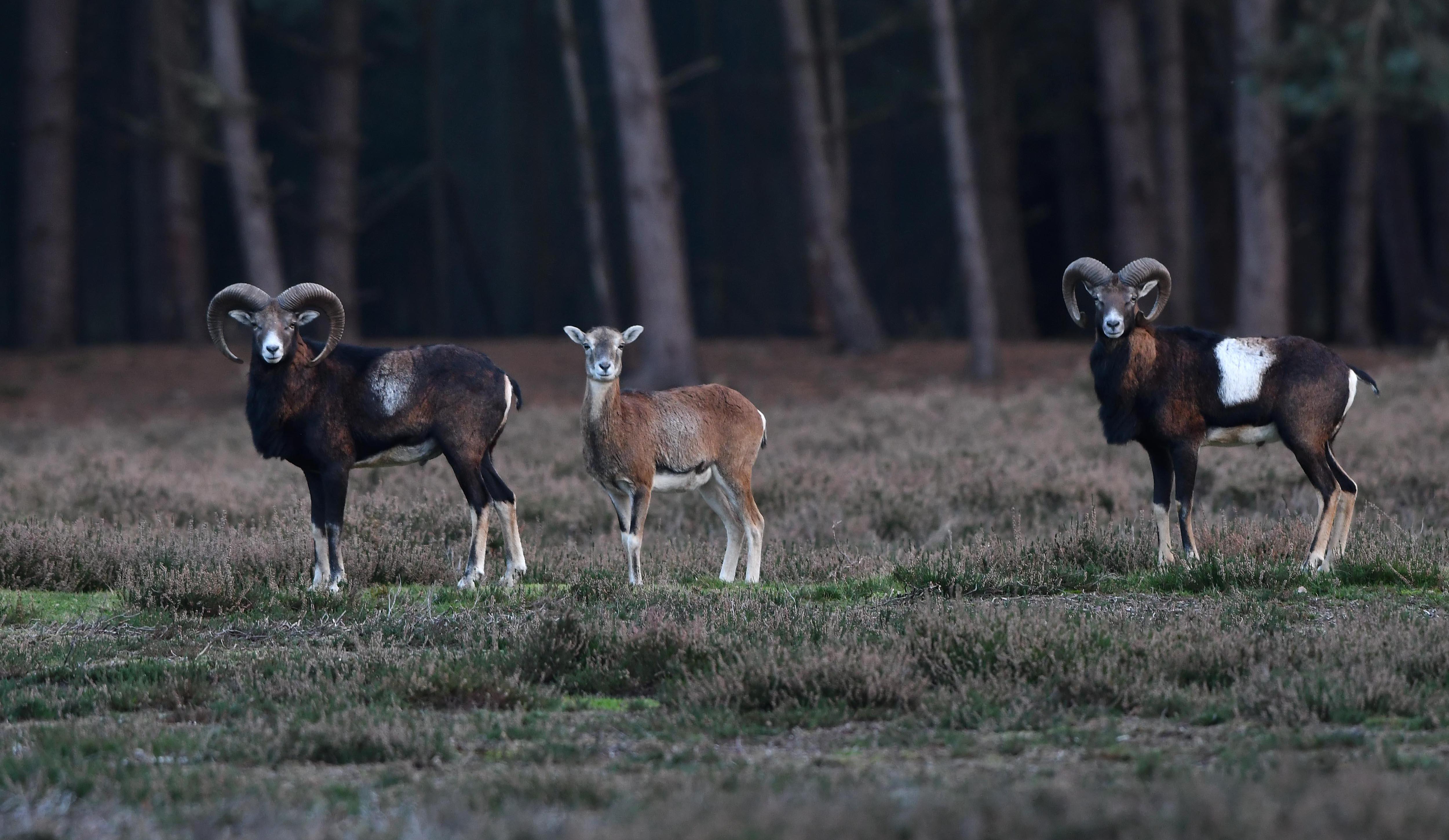 Oog in oog met de moeflons op de Veluwe – Foto: ©Louis Fraanje
