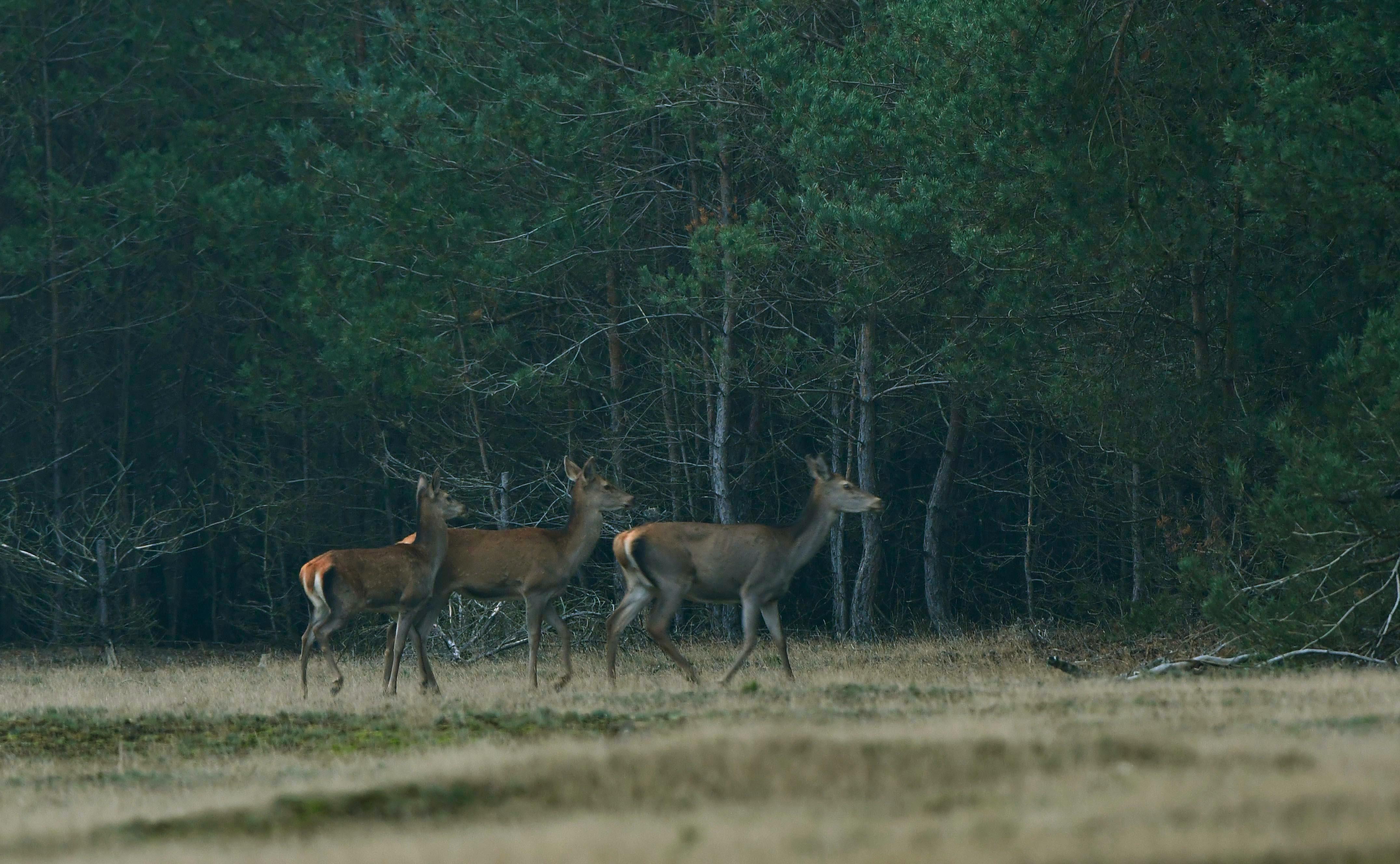 Het drietal verdwijnt even later in de dekking en Hubertus zal er ook achteraan gaan – Foto: ©Louis Fraanje