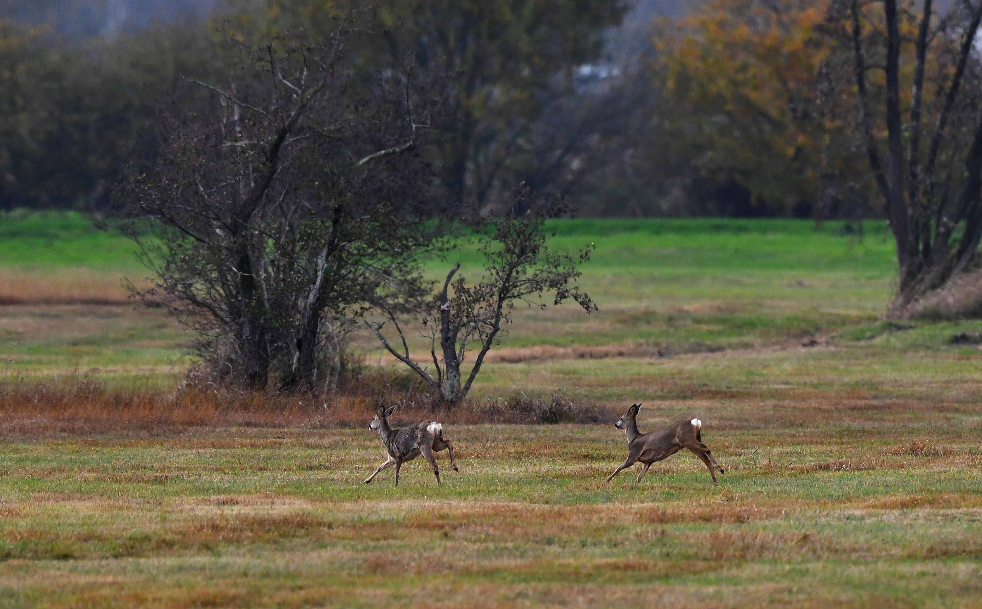 Komen er plotseling vanuit het niets twee reegeiten voorbij rennen – Foto: ©Louis Fraanje