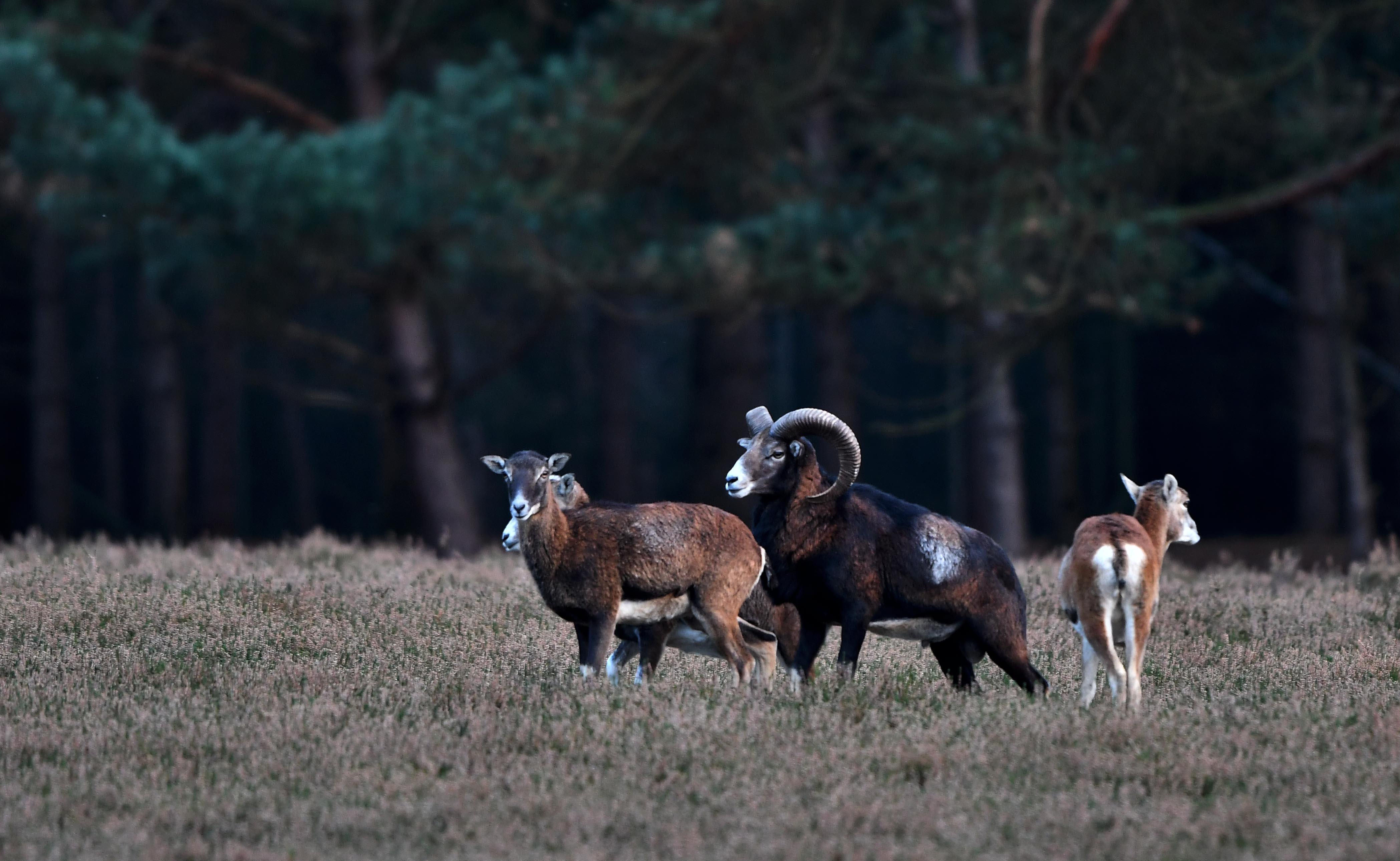 Moeflonram kijkt over de rug van een ooi naar de 'onzekere' toekomst – Foto: ©Louis Fraanje