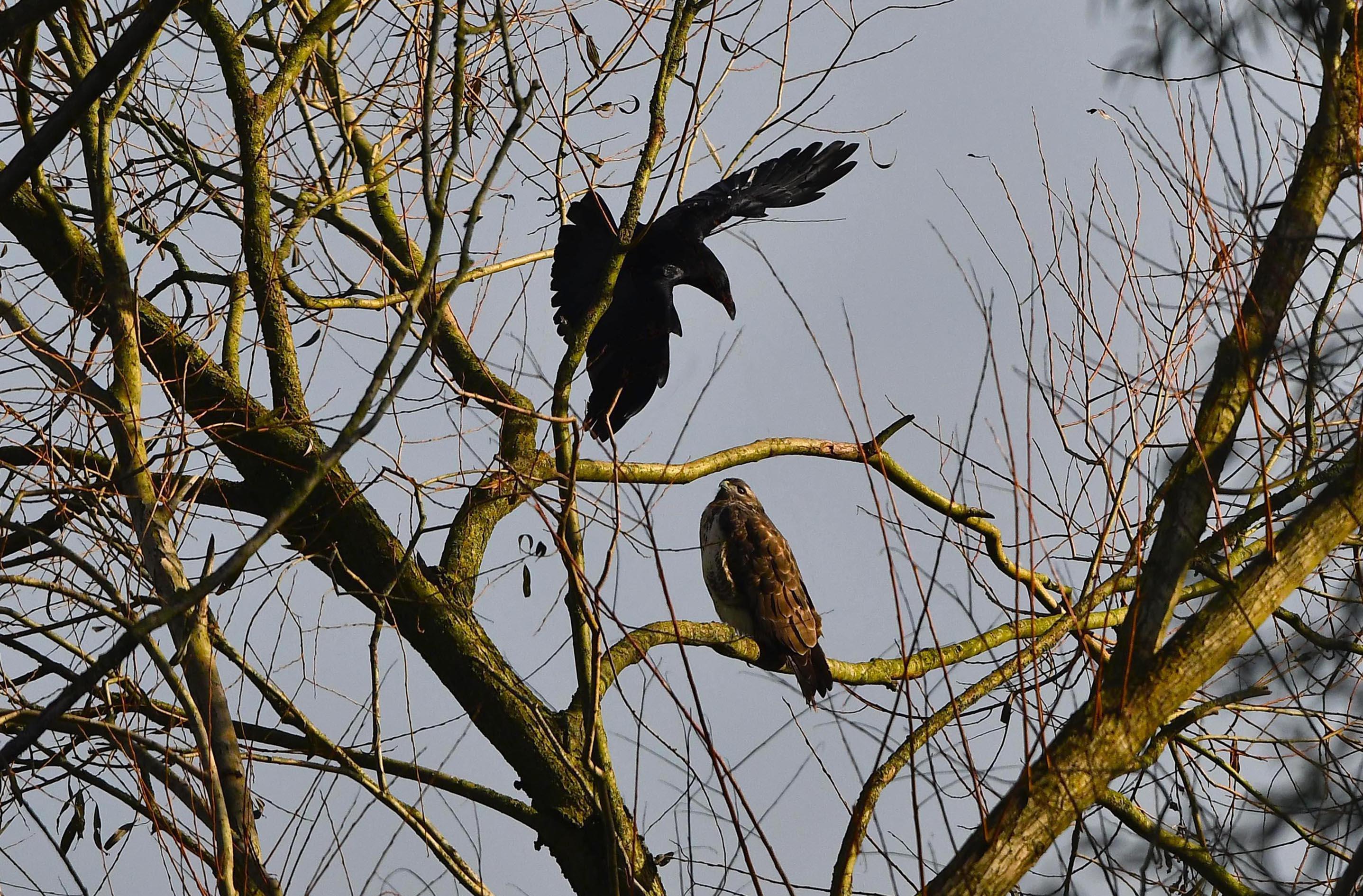 De onverstoorbare buizerd met de aanvallende zwarte kraai - Foto: ©Louis Fraanje