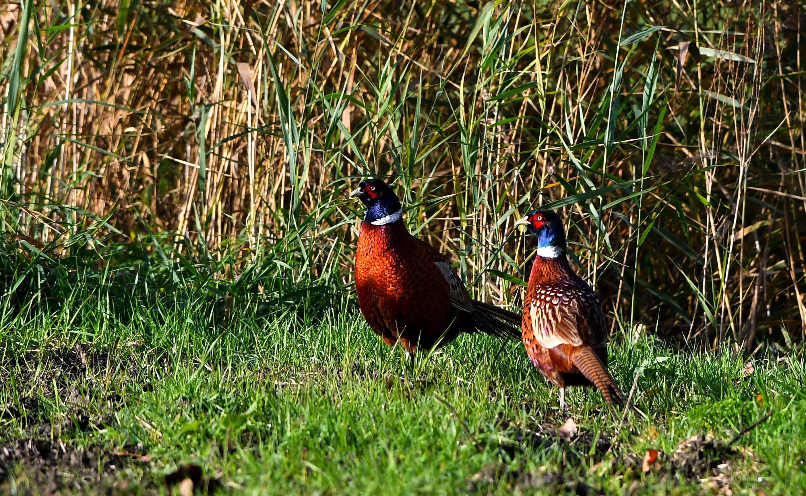 We We hoeven niet lang te wachten, of er komen nog twee hanen tevoorschijn - Foto: ©Louis Fraanje