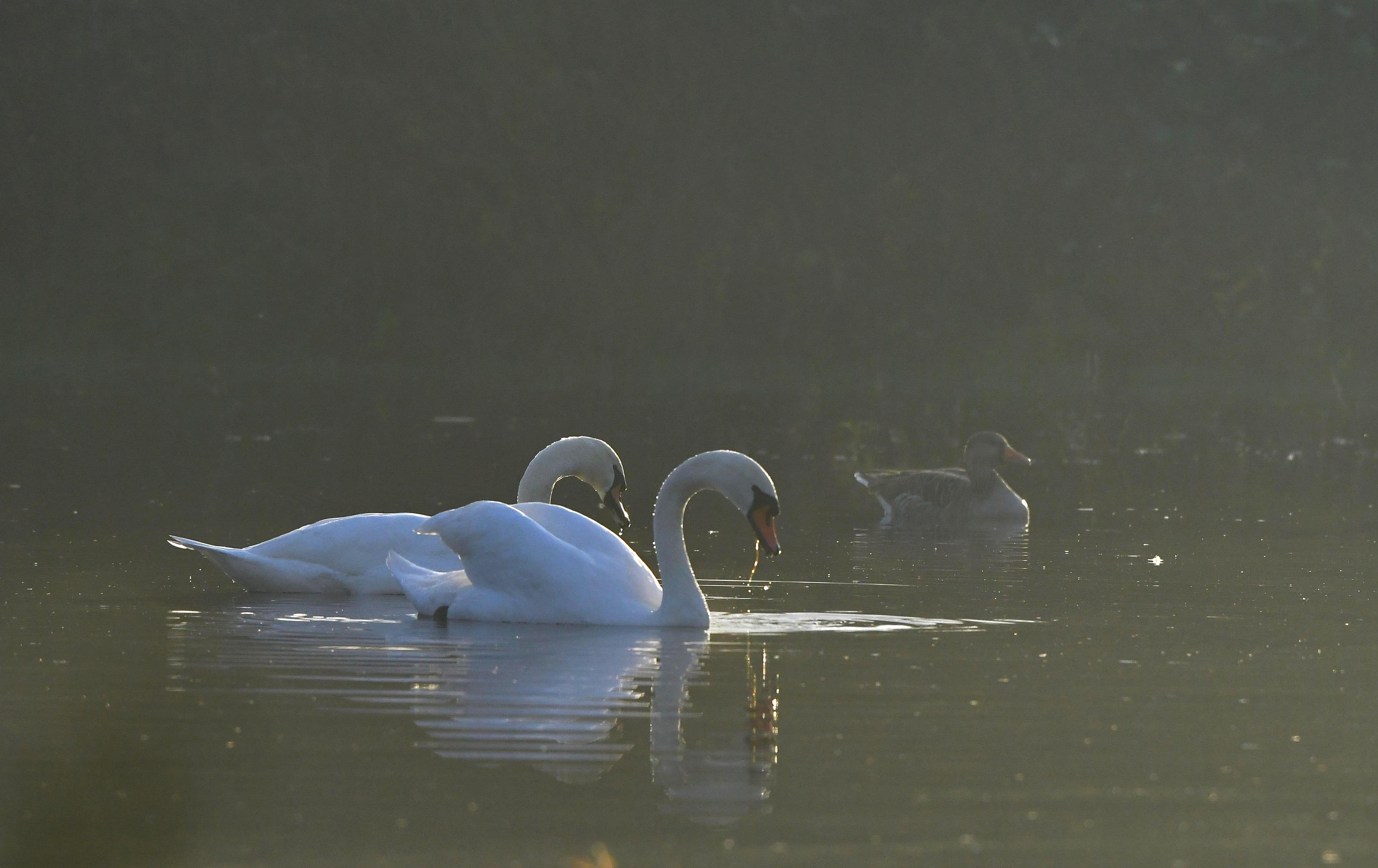 Het paartje knobbelzwanen op het water, met daarachter een passerende gans - Foto: ©Louis Fraanje