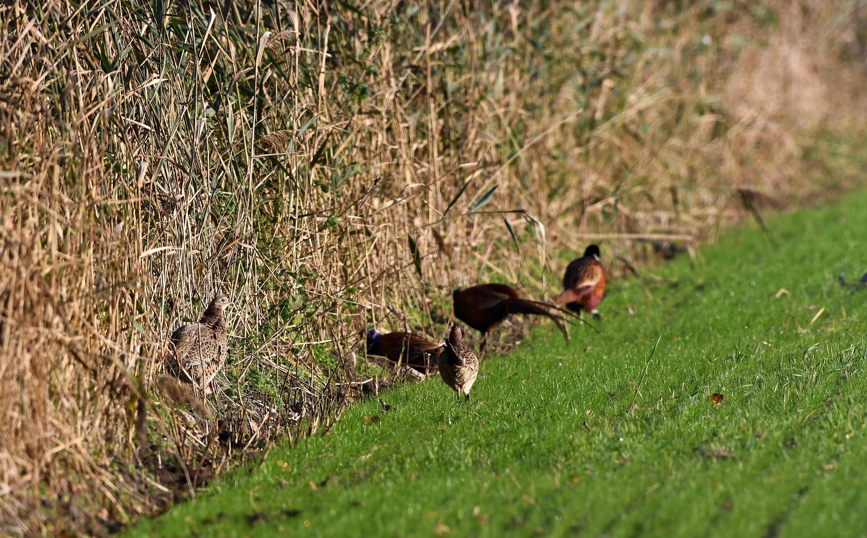 Aan de andere kant van het riet zien we nog meer fazanten - Foto: ©Louis Fraanje