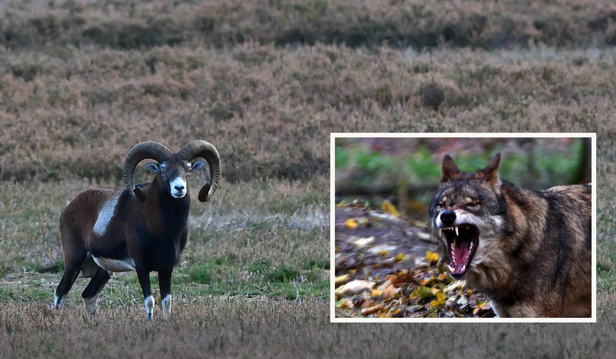 Zal de moeflon opgeofferd gaan worden voor de wolf? – Foto en inzet: ©Louis Fraanje