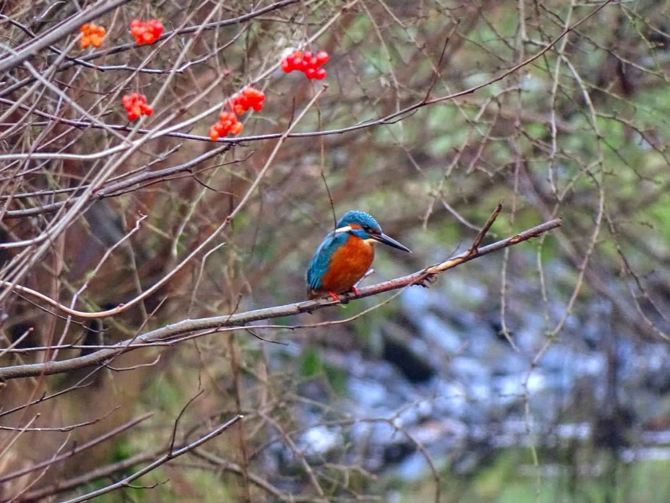 Daar zat hij dan... de ijsvogel op een tak boven het water - Foto: ©Gerco van Vliet