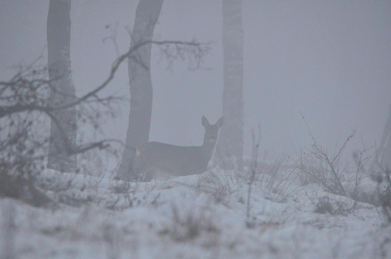 Even later ontdekken we een reegeit aan de rand van het berkenbos – Foto: ©Louis Fraanje