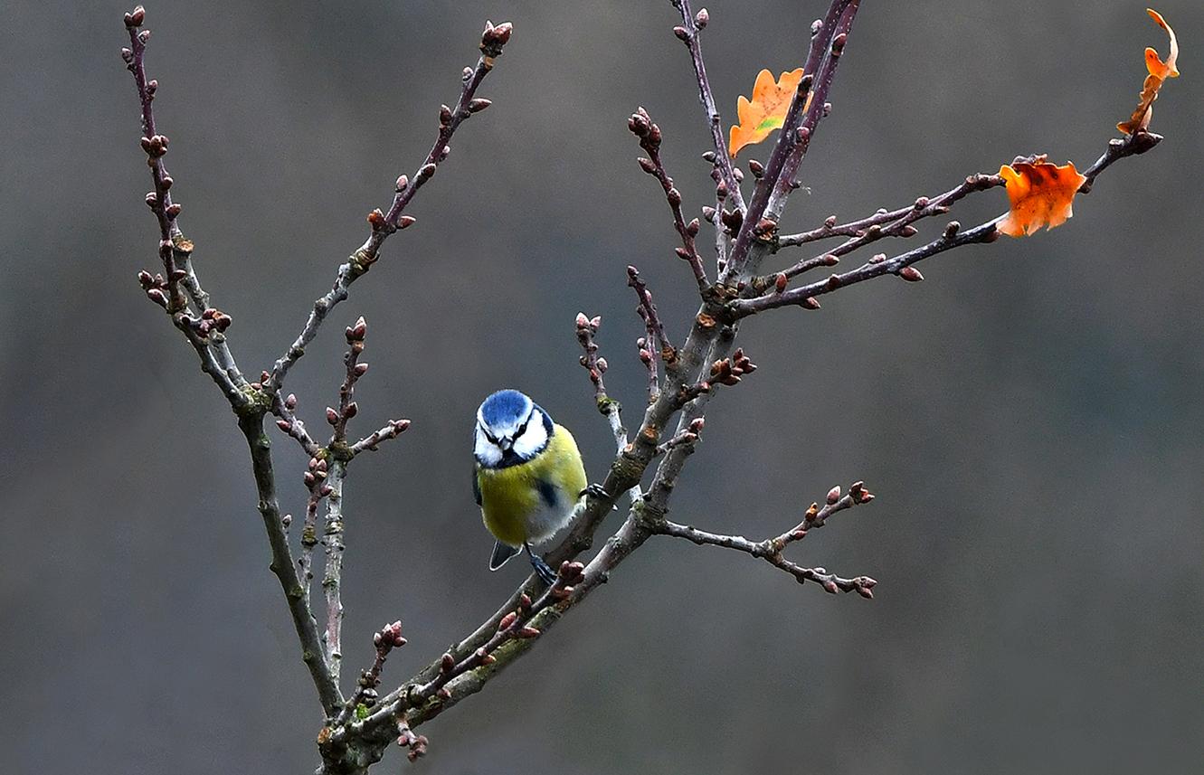 En dan ineens zit er een prachtige pimpelmees boven in de eikenboom - Foto: ©Louis Fraanje