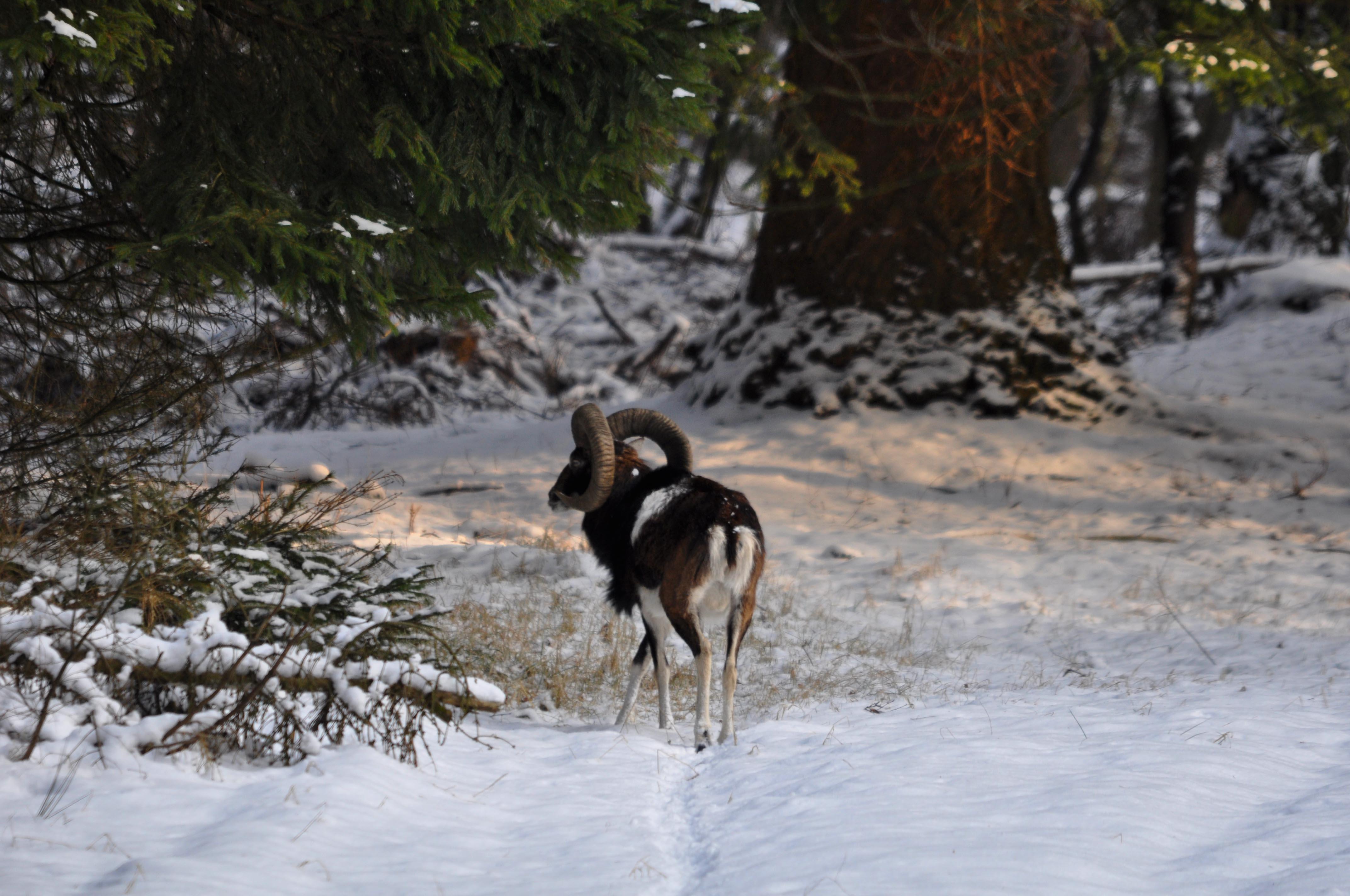 Trekt hij zijn wissels in de sneeuw op zoek naar wat eetbaars – Foto: ©Louis Fraanje