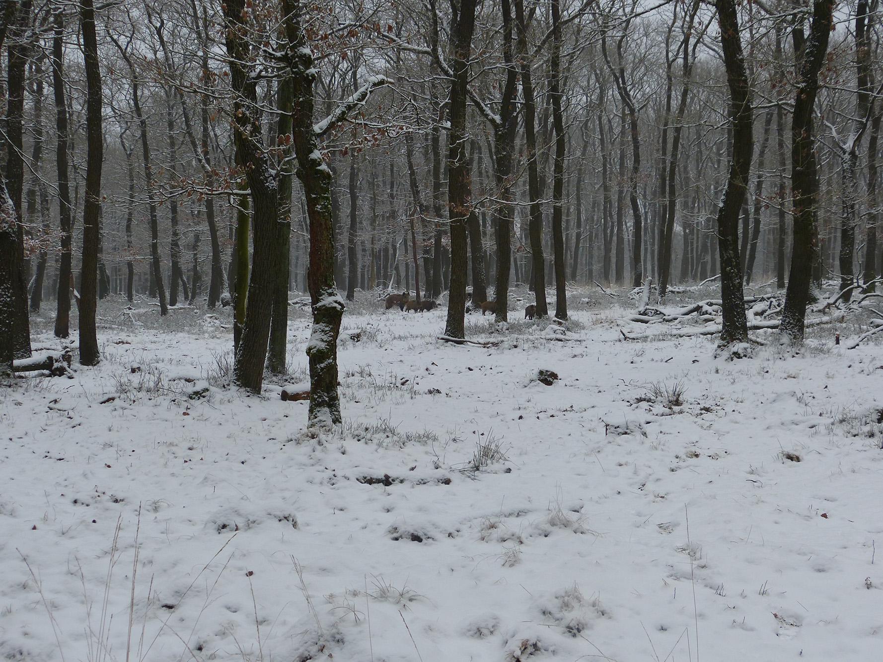 Als we wat dichterbij zijn gekomen ontdekken we een aantal wilde zwijnen - Foto: ©Louis Fraanje