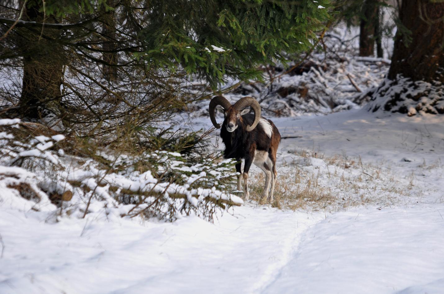Maar het is de enige 'overlevingsstrategie' voor de kudde! – Foto: ©Louis Fraanje