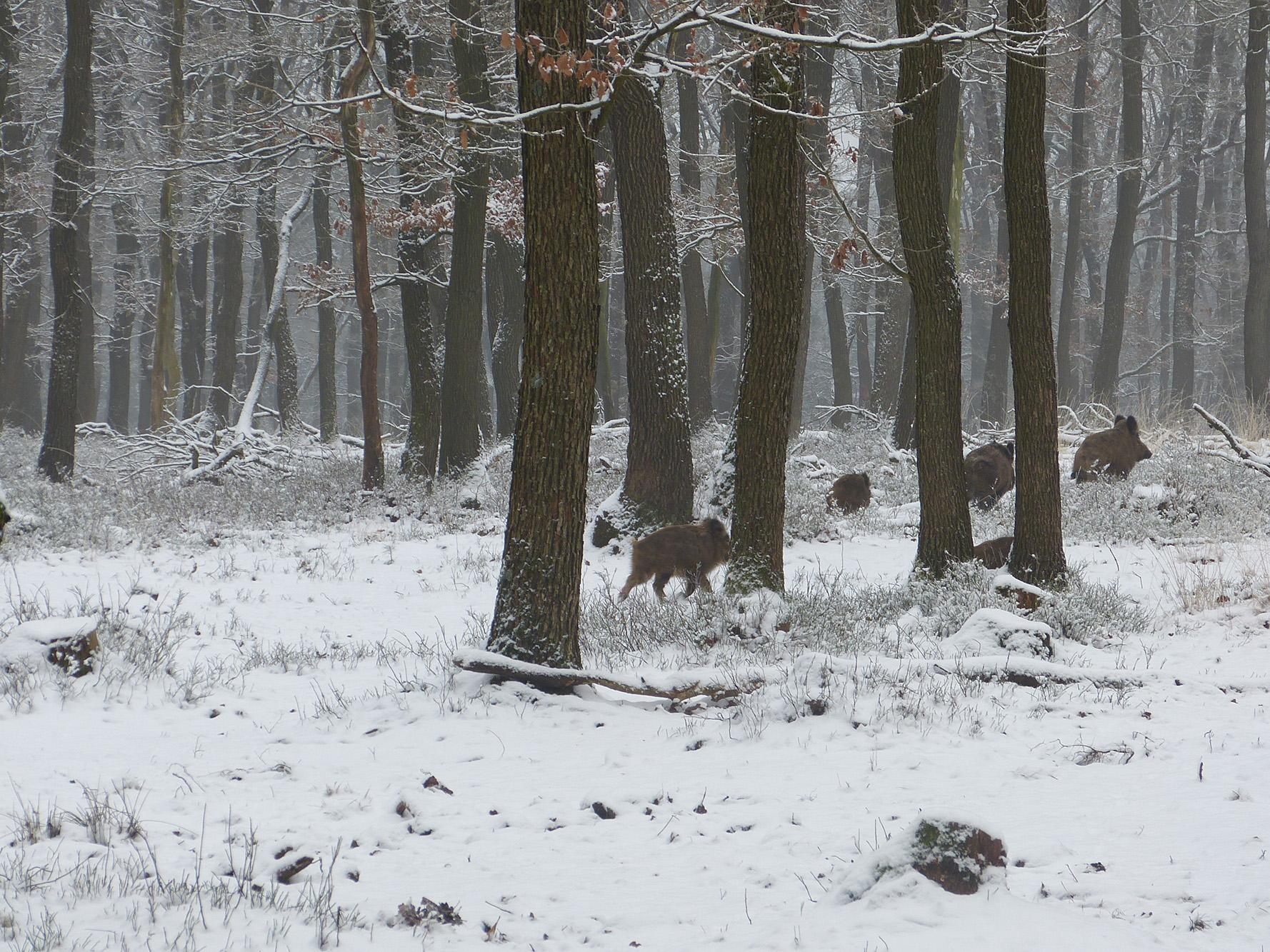 De zwartkielen zijn druk bezig met hun snuit in de sneeuw om wat eetbaars te vinden - Foto: ©Louis Fraanje