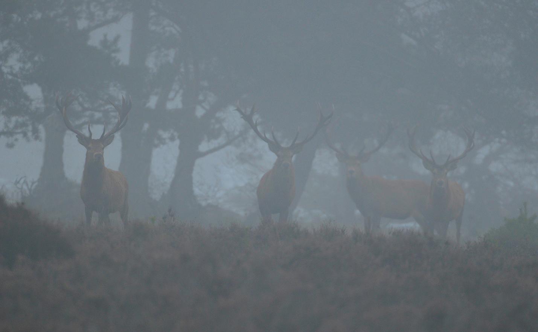 Eenmaal tussen de bomen, blijft een viertal herten in onze richting staan kijken – Foto: ©Louis Fraanje