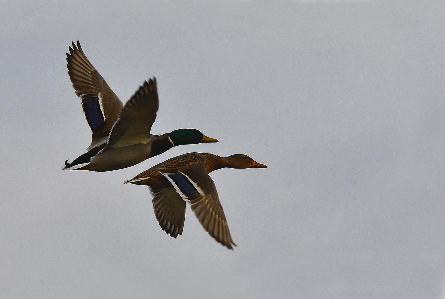 Het mannetje vliegt beschermend boven het vrouwtje - Foto: ©Louis Fraanje