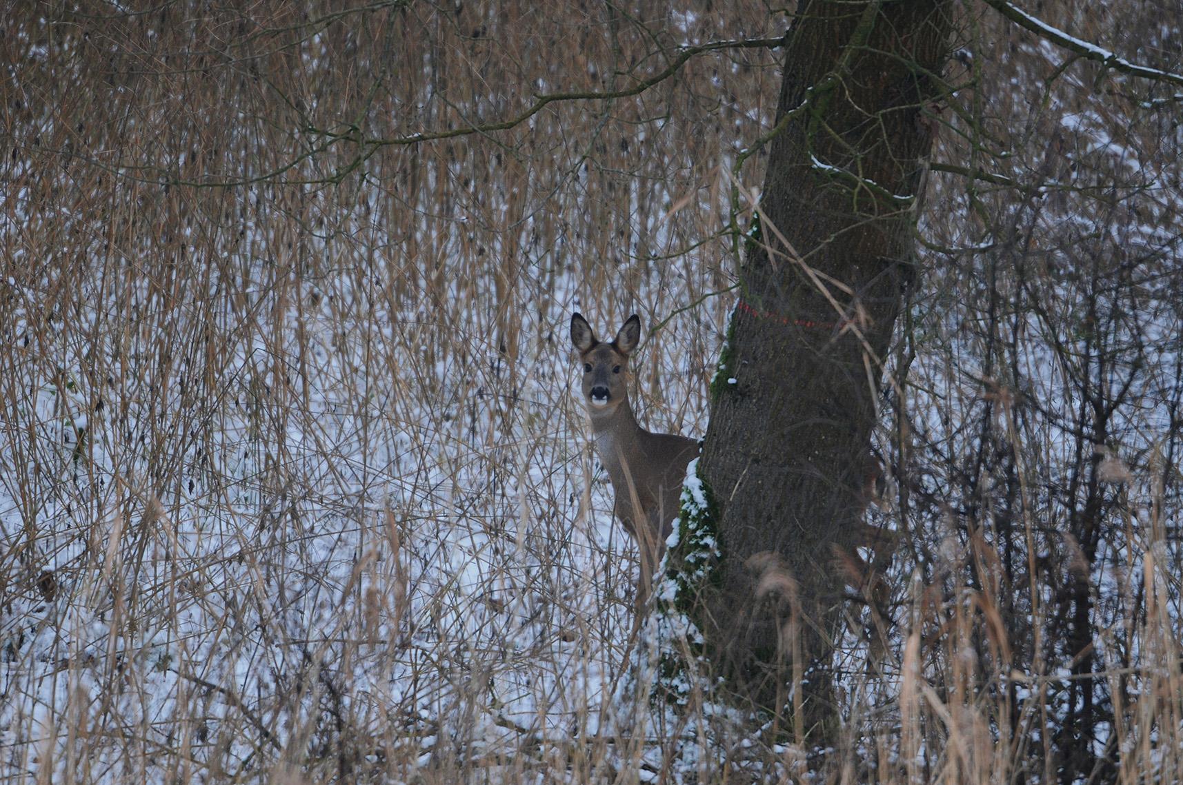 De reegeit komt heel voorzichtig om het hoekje van de boom kijken, dat is echt heel erg komisch – Foto: ©Louis Fraanje