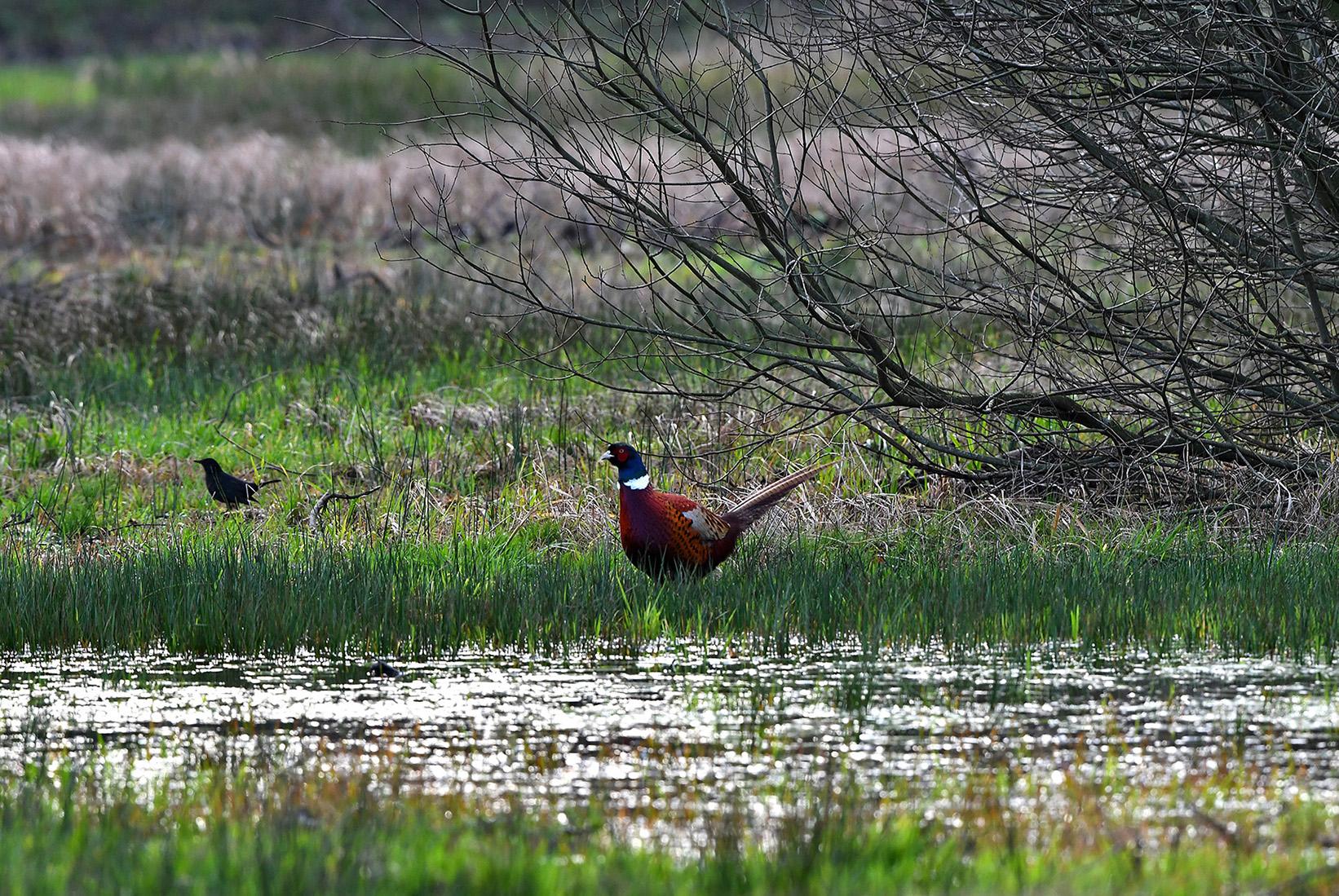 Een prachtige fazantenhaan en als bijvangst een merelman- Foto: ©Louis Fraanje