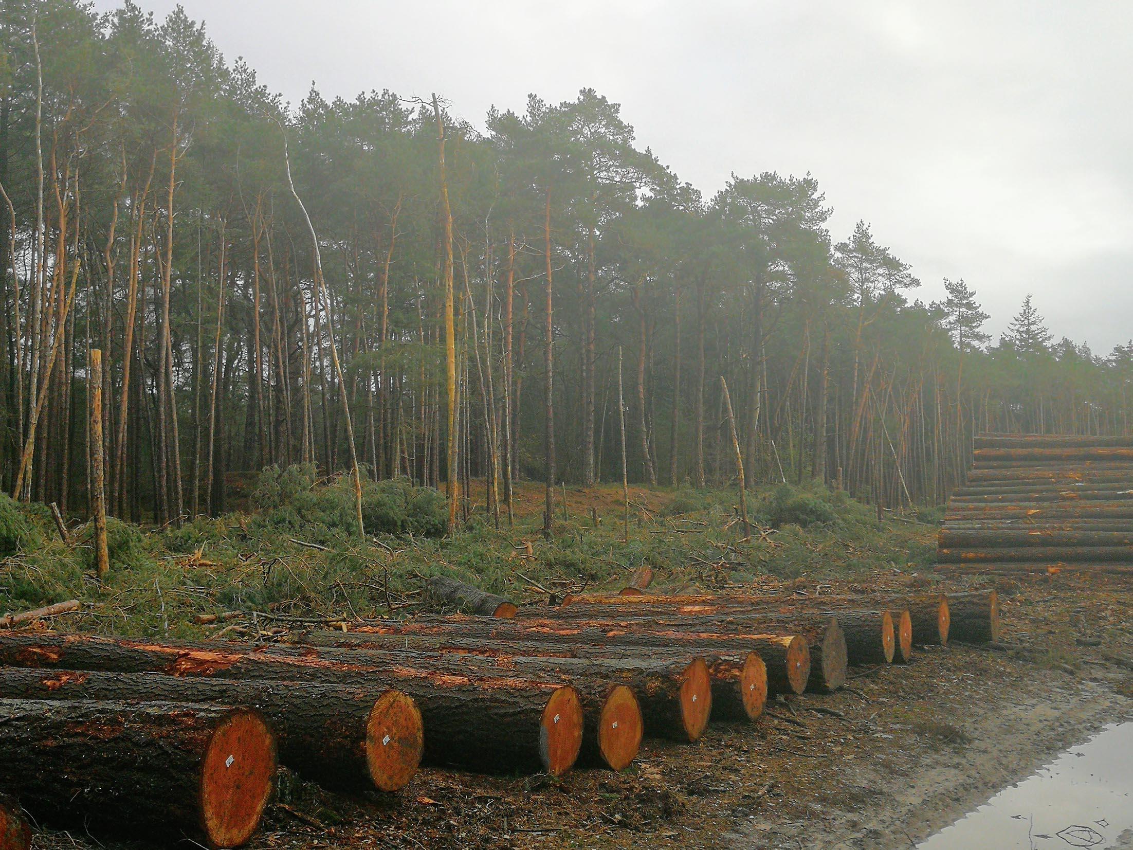 Op de achtergrond staat grove den, die nodig gedund had moeten worden, op de voorgrond het verdwenen bos, dat na een dunning nog lang voor afwisseling had kunnen zorgen. Volkomen verkeerde beheermaatregel uitgevoerd dus - Foto: ©JGS/Veluwenaar