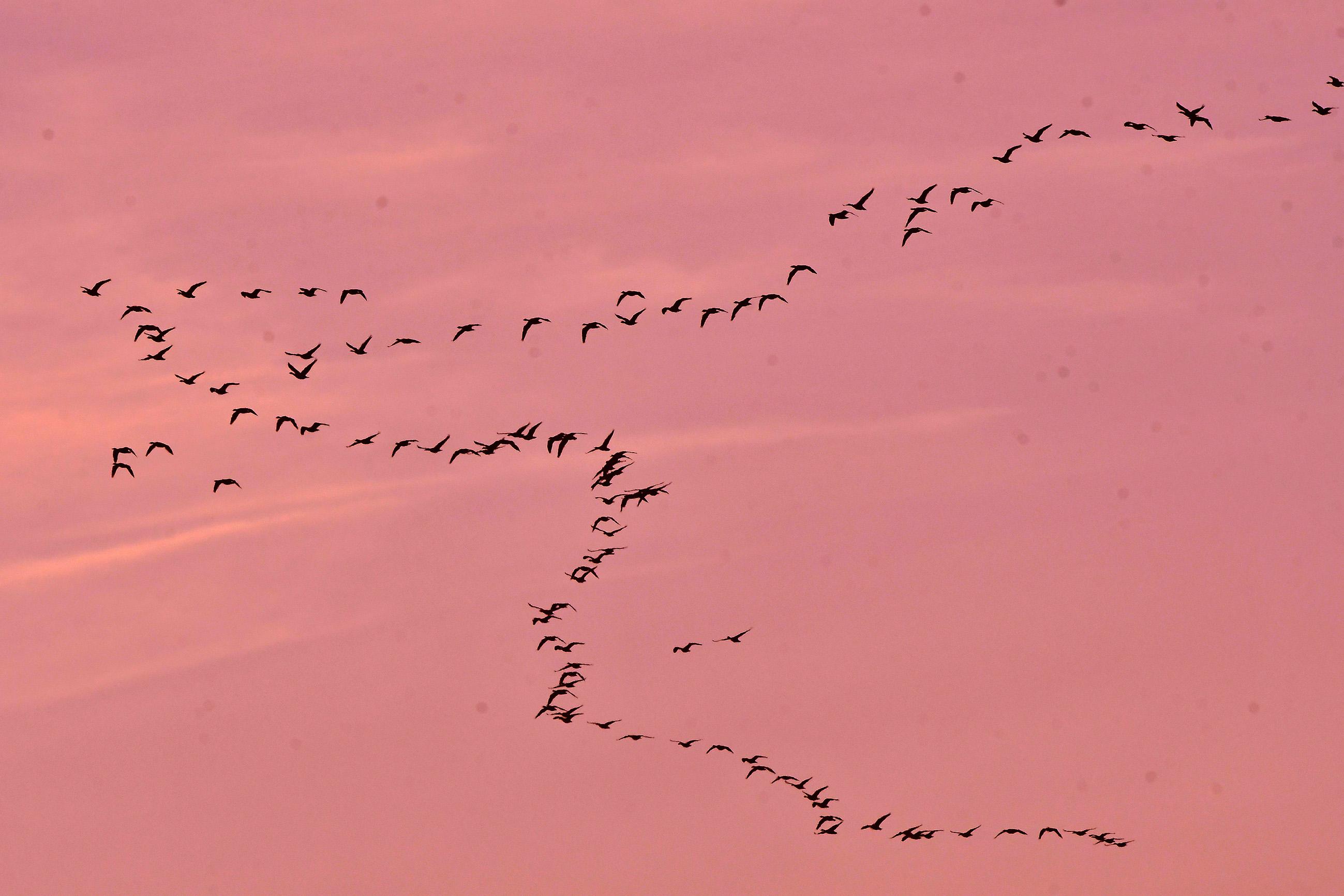 Allemaal ganzen kwamen overvliegen vanaf de Rijn bij Wageningen - Foto's: ©Louis Fraanje