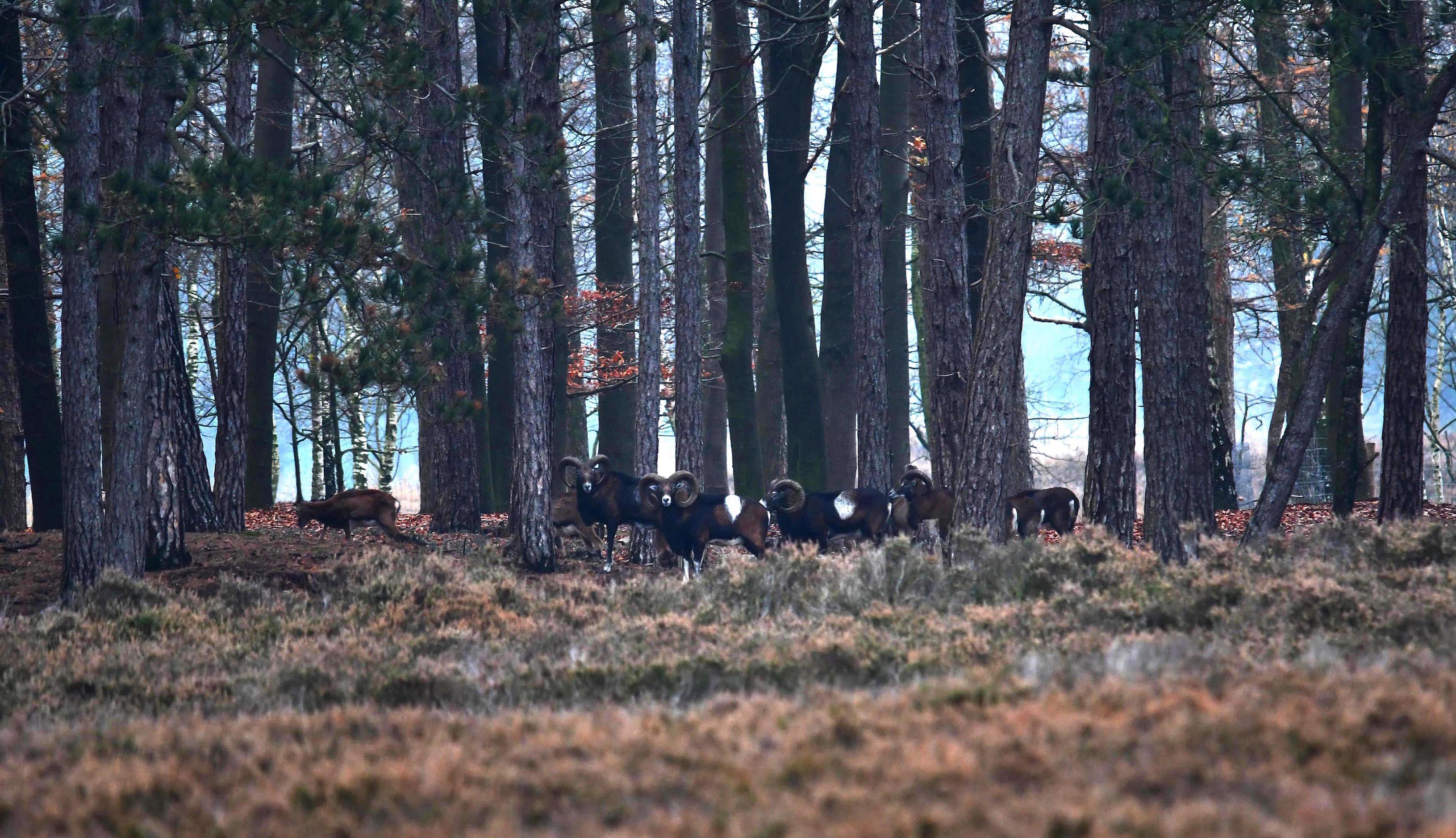 Ineens verschenen aan de rand van de heide een aantal moeflons tussen de bomen - Foto: ©Louis Fraanje