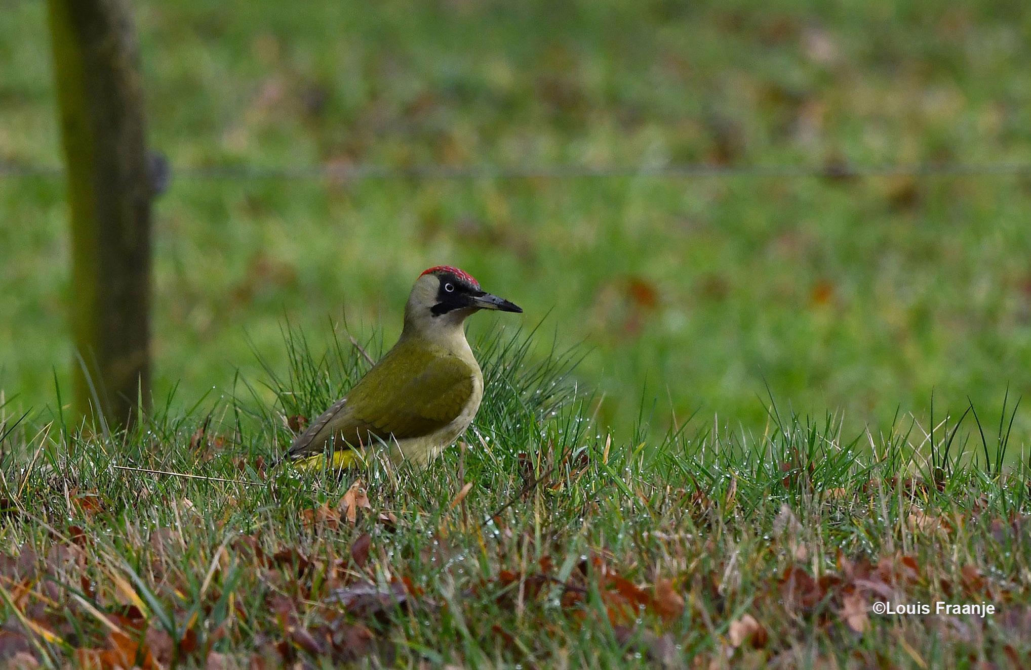Regelmatig keek de vogel op of er gevaar dreigde - Foto: ©Louis Fraanje