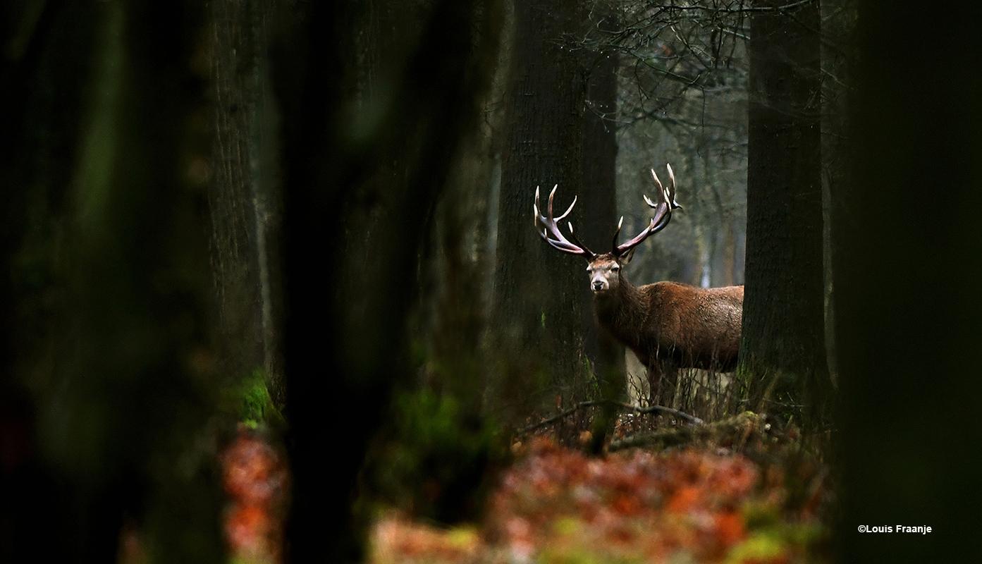 Verscholen tussen de bomen stond een prachtige geweidrager - Foto: ©Louis Fraanje