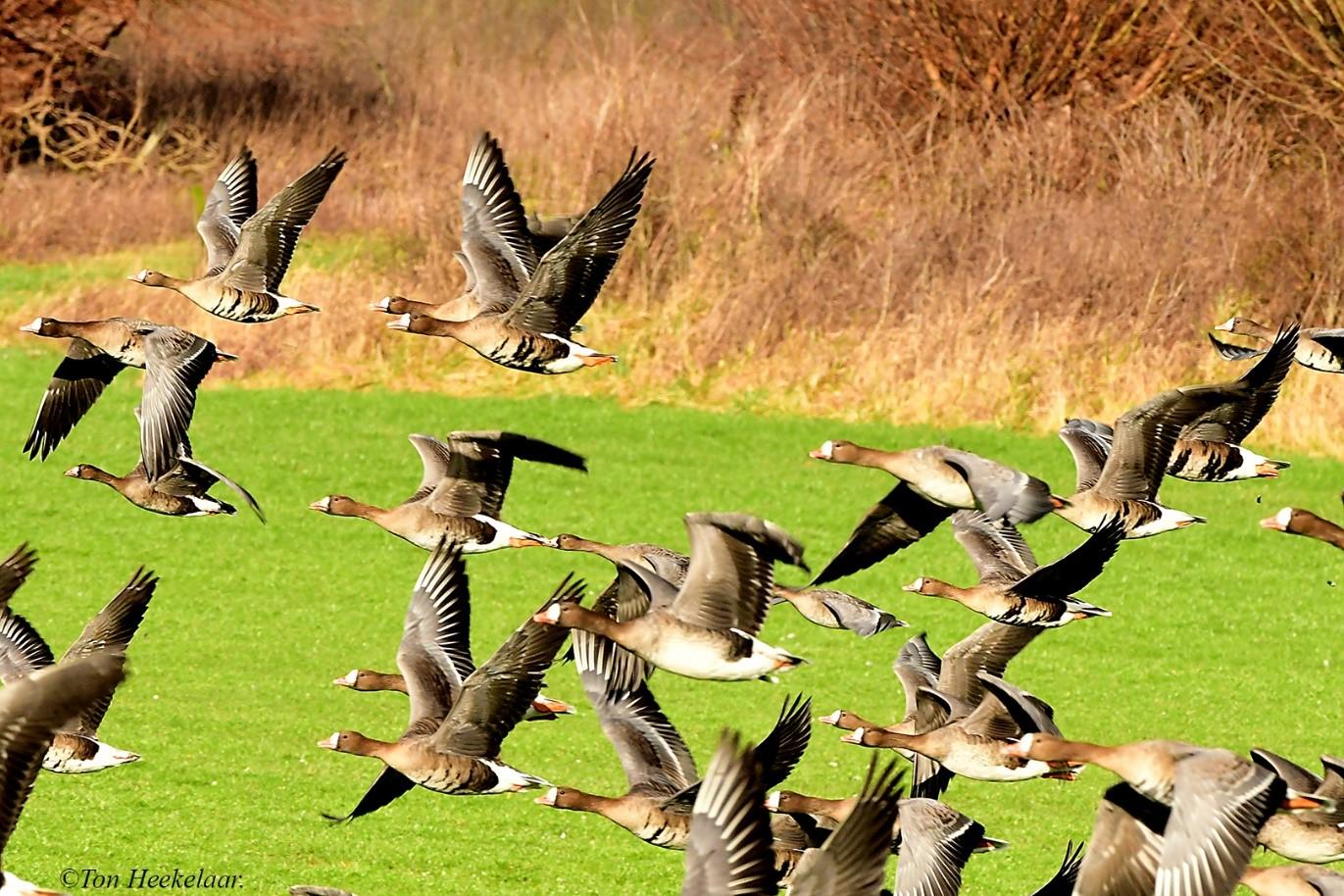 Vele opvliegende kolganzen zijn momenteel als wintergast te bewonderen langs onze grote rivieren zoals Rijn en IJssel - Foto: ©Ton Heekelaar.