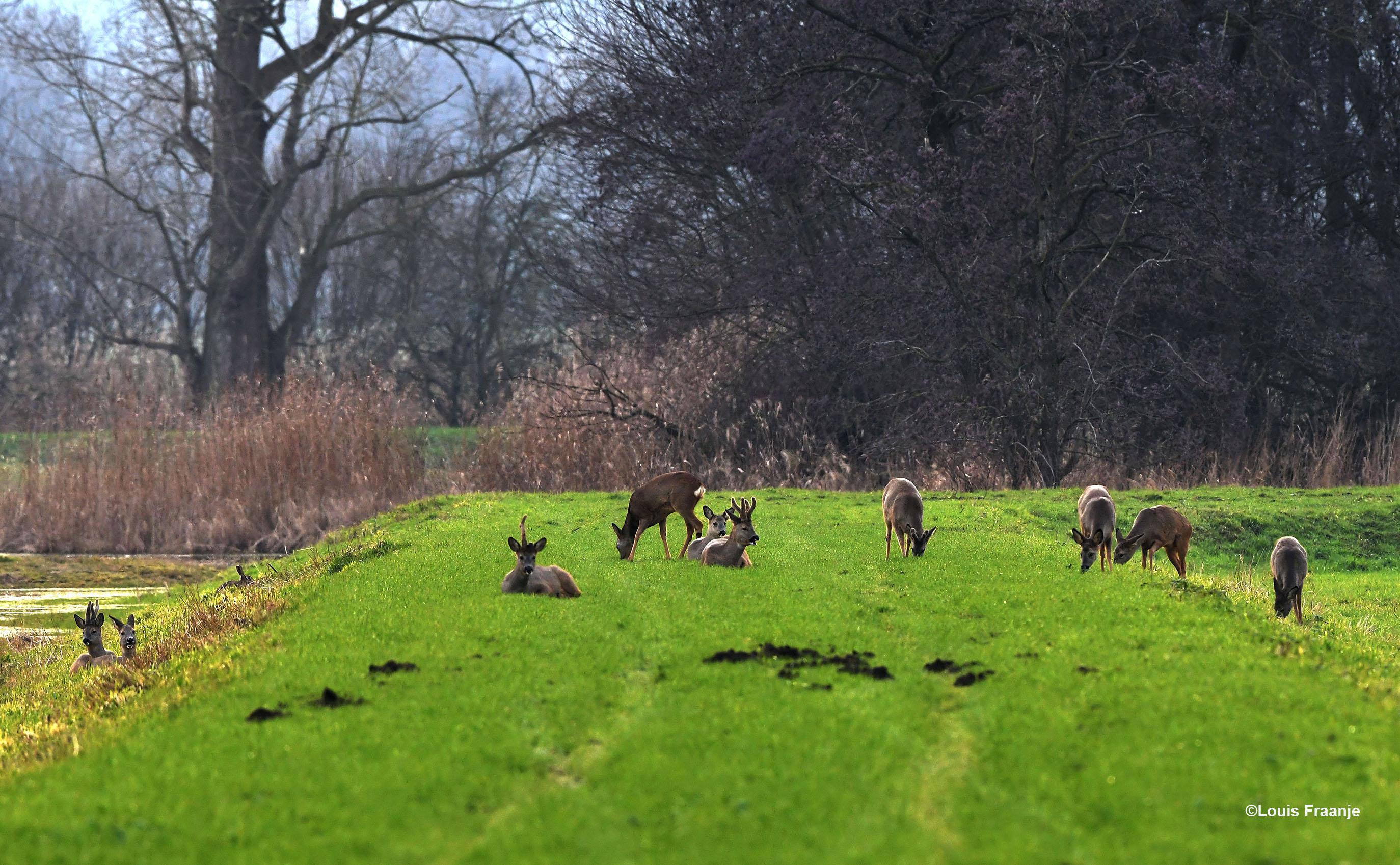 Bij elkaar zo'n tien stuks bokken en geiten, die samen een 'sprong' vormen en een haas links - Foto: ©Louis Fraanje