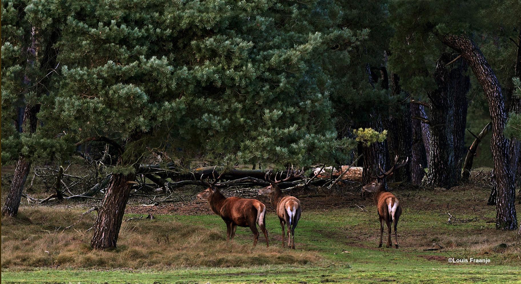 Edelherten op de uitkijk aan de bosrand bij het Bosje van Staf - Foto: ©Louis Fraanje