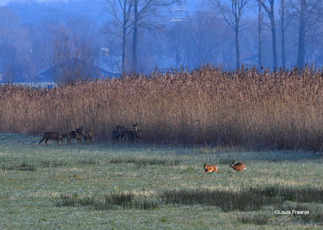 Zit je naar een sprong reeën te kijken, komen er ineens twee hazen voorbij rennen - Foto: ©Louis Fraanje