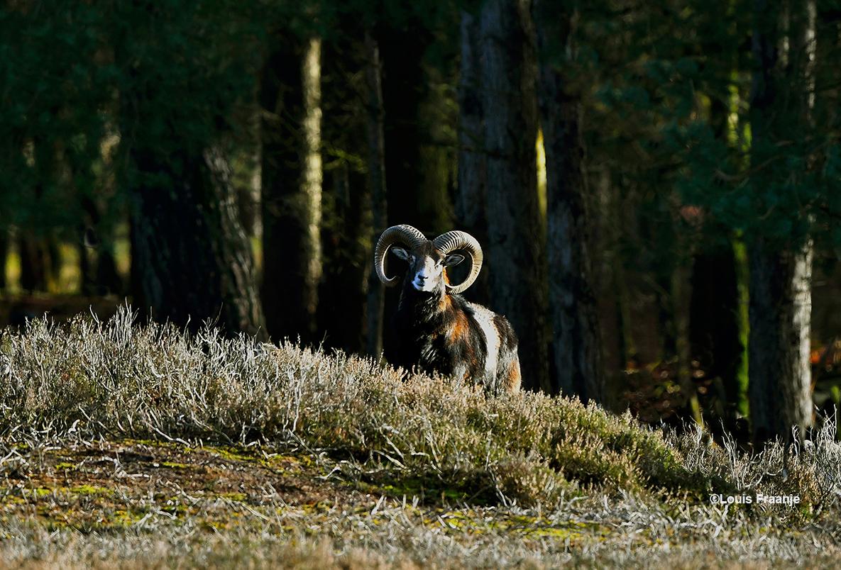 Vanuit het bos komt een prachtige moeflonram de heideheuvel opwandelen - Foto: ©Louis Fraanje
