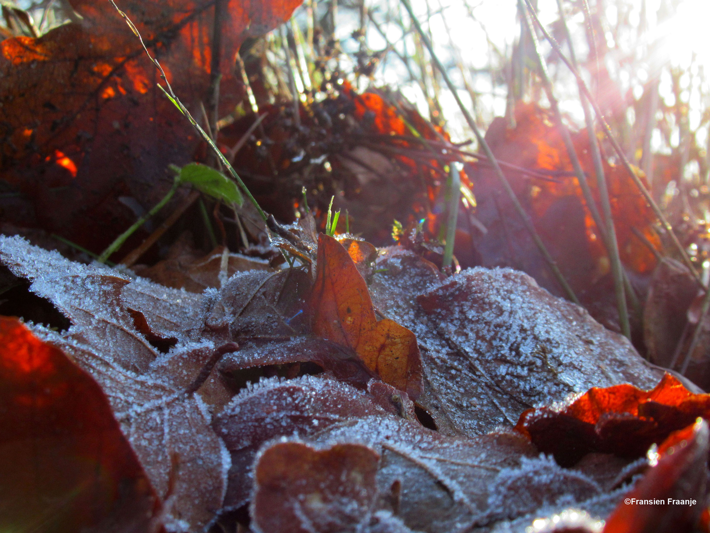 Bevroren bladeren op de grond met het zachte zonlicht er doorheen - Foto: ©Fransien Fraanje