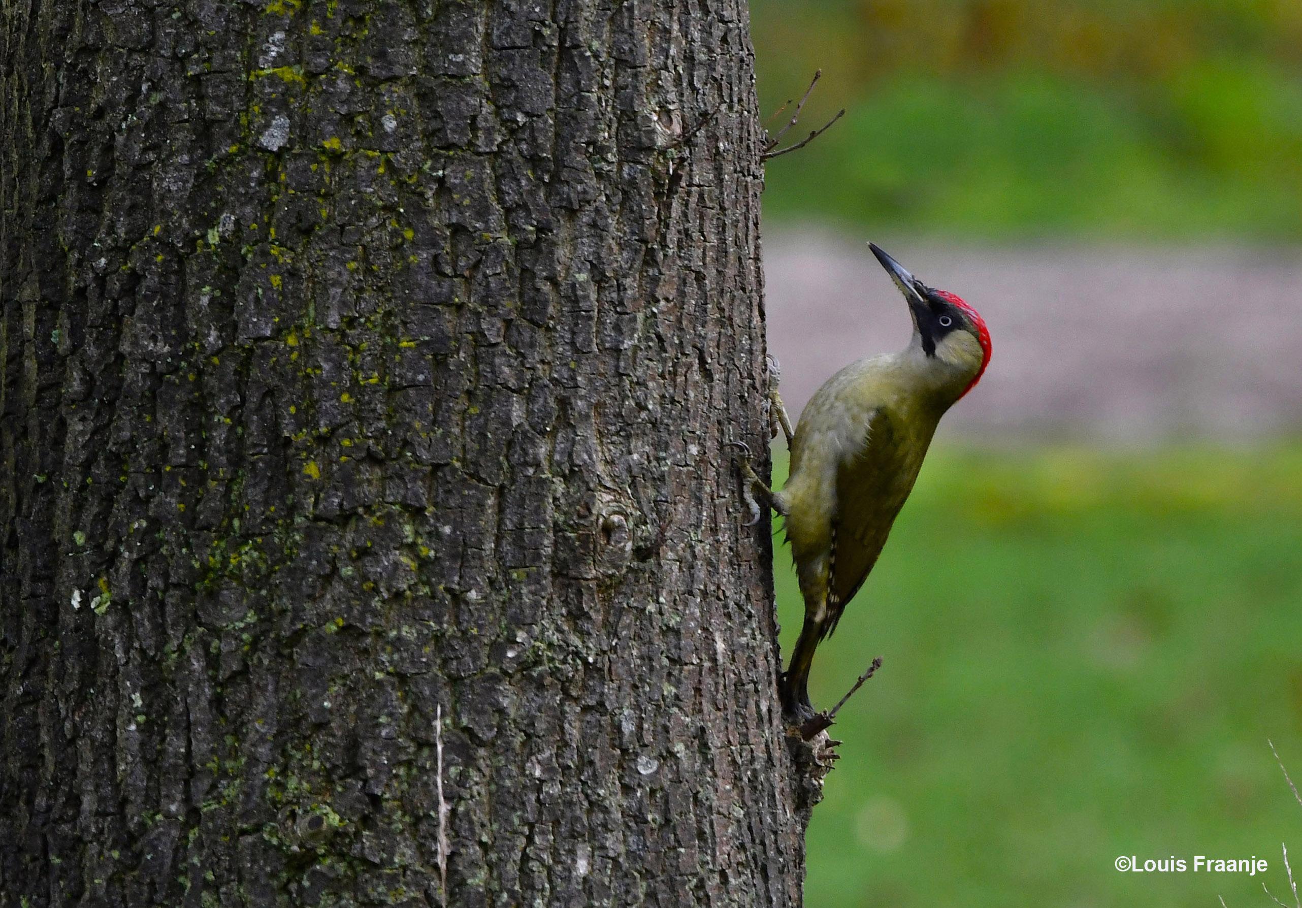 Dan weer klampte ze zich aan de boomstam vast - Foto: ©Louis Fraanje