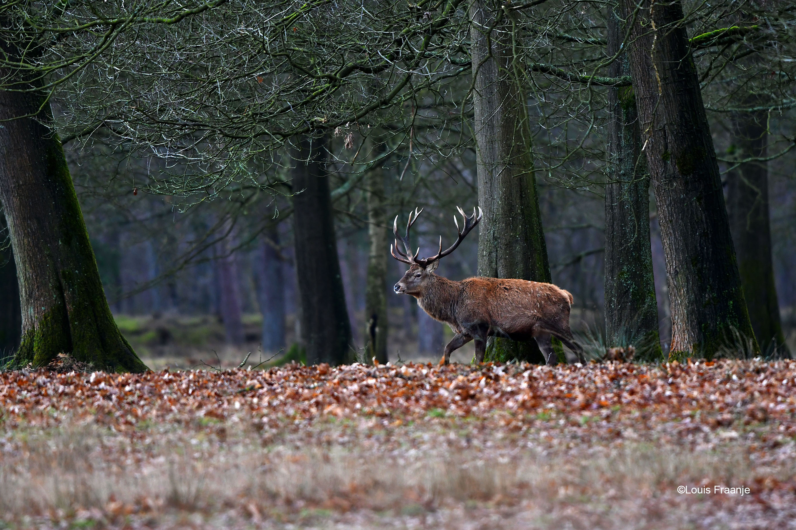 De ongelijke 18-ender aan de bosrand op de Hoge Veluwe - Foto: ©Louis Fraanje