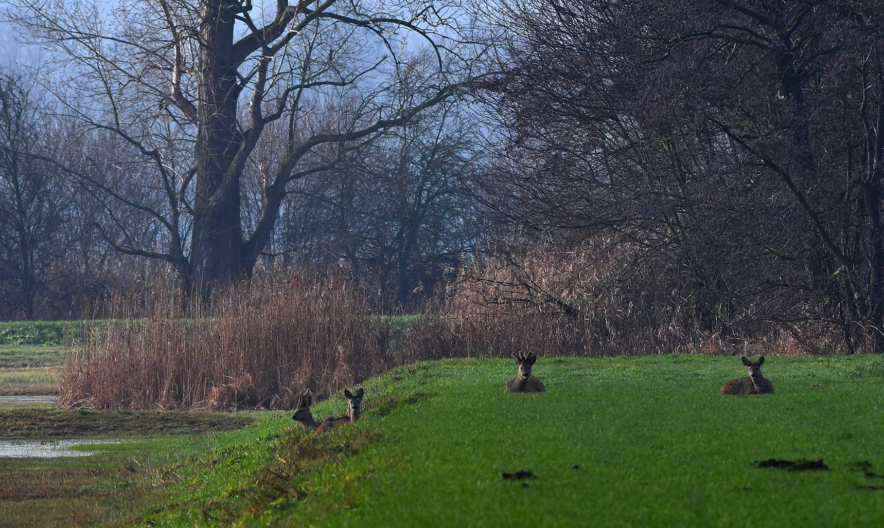 Zomaar een mooie ontmoeting buiten in het veld met het rustend reewild - Foto: ©Louis Fraanje