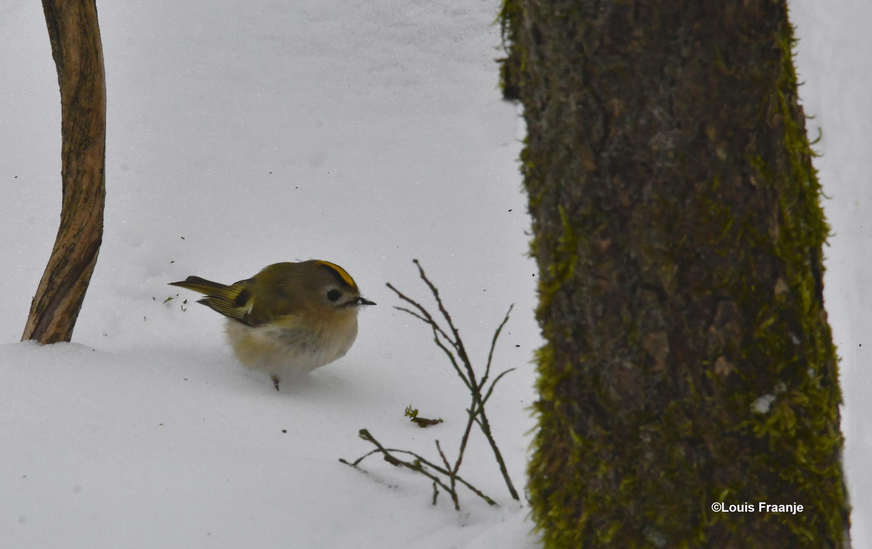 Het goudhaantje is het kleinste vogeltje hier bij ons in Nederland - Foto: ©Louis Fraanje