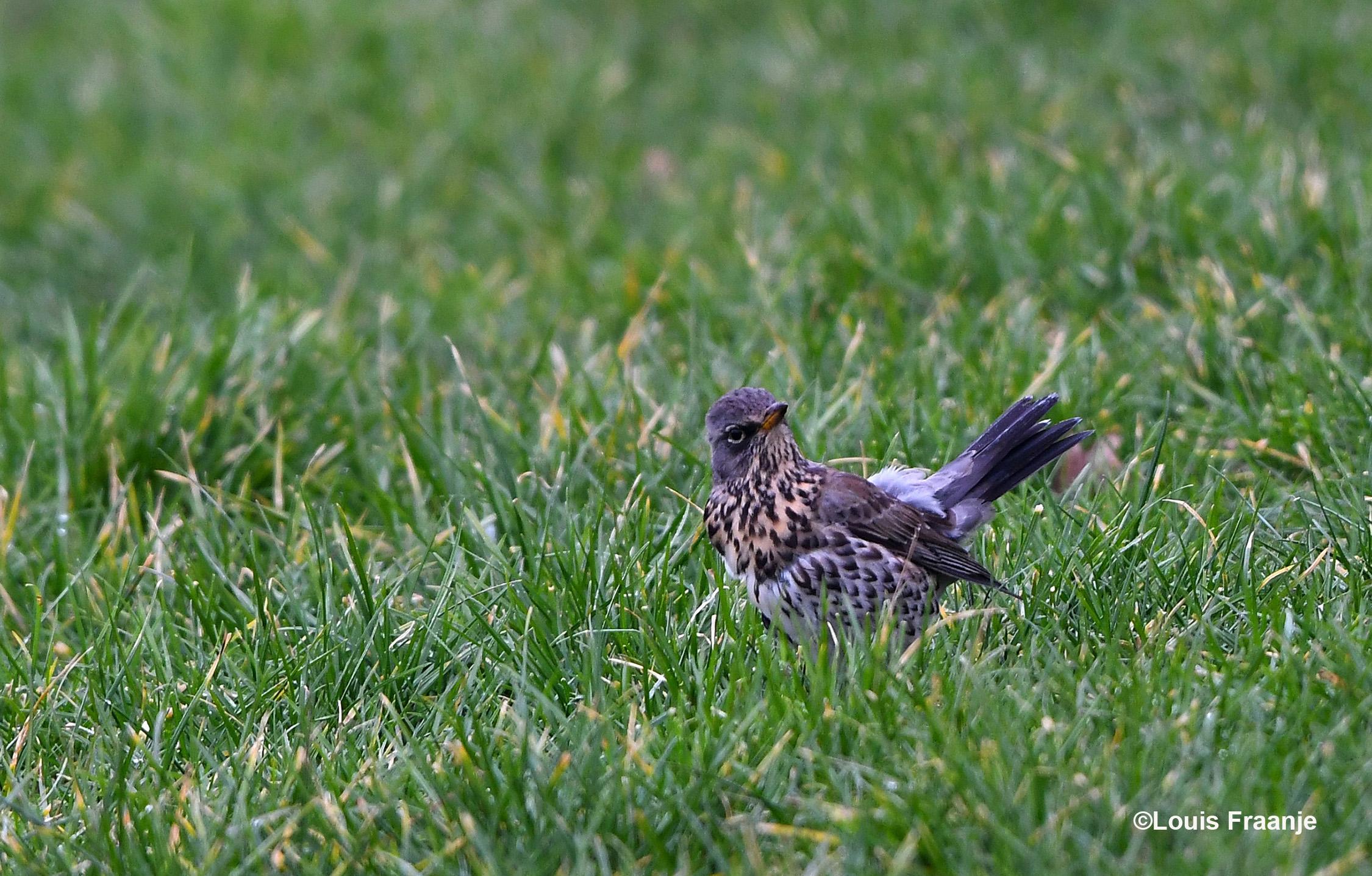 Een kramsvogel zoekt naar insecten in de wei, een beetje schuw kijkt hij om zich heen - Foto: ©Louis Fraanje