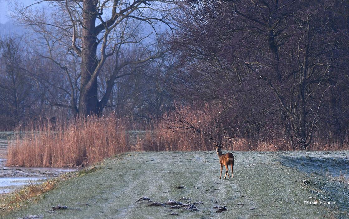 De jonge reebok met bastgewei op een soort dik in het veld - Foto: ©Louis Fraanje