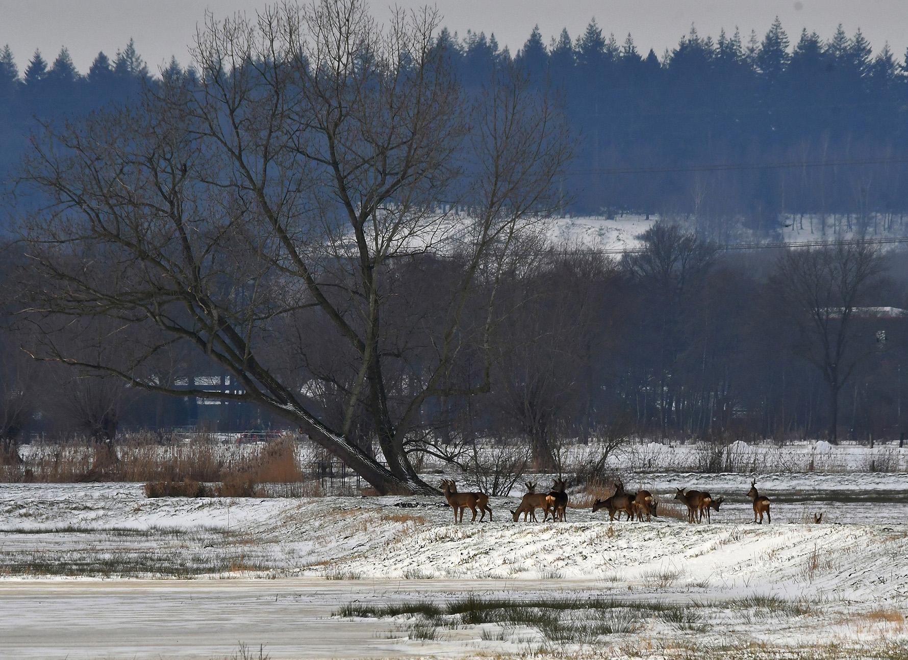 Al speurend ontdekten wij achterin tegen de bosrand een grote groep reeën - Foto: ©Louis Fraanje