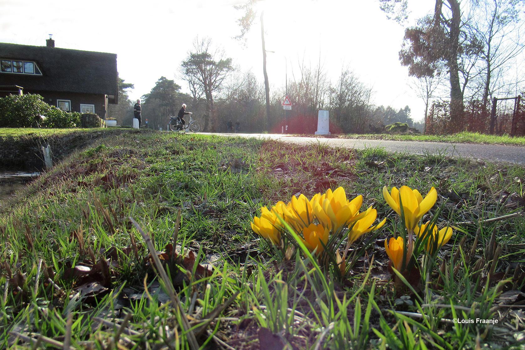 Net voorbij het oude Tolhuis op de Barneveldsestraat 38 stonden prachtige 'gele' crocussen - Foto: ©Louis Fraanje