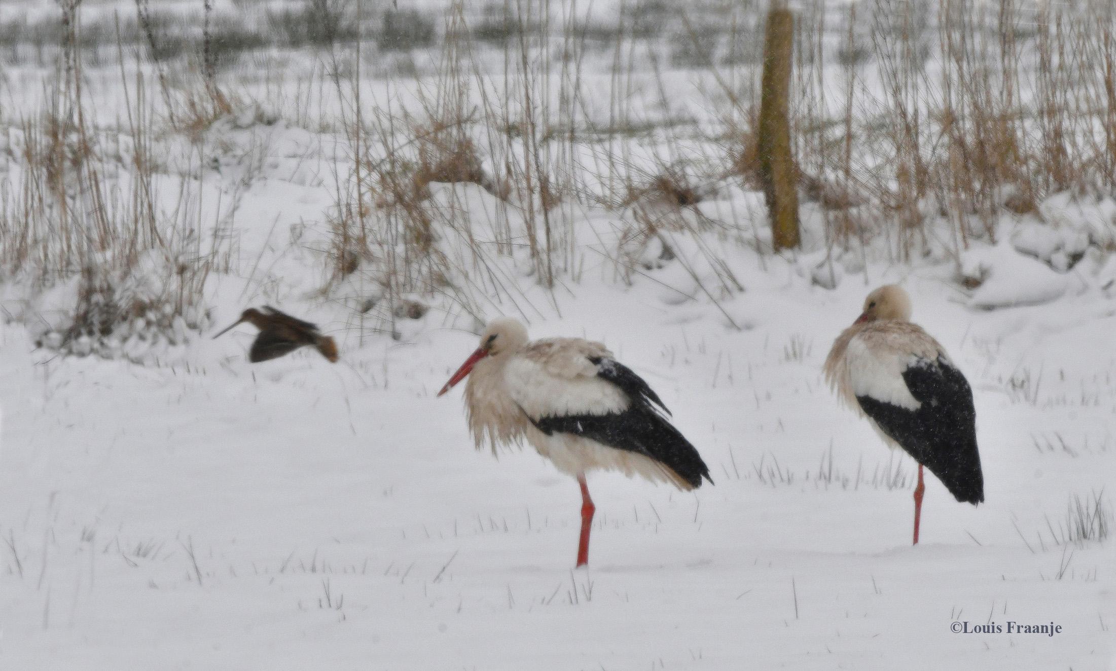 Geluksmoment buiten in de stuifsneeuw met twee ooievaars en... jawel een watersnip - Foto: ©Louis Fraanje