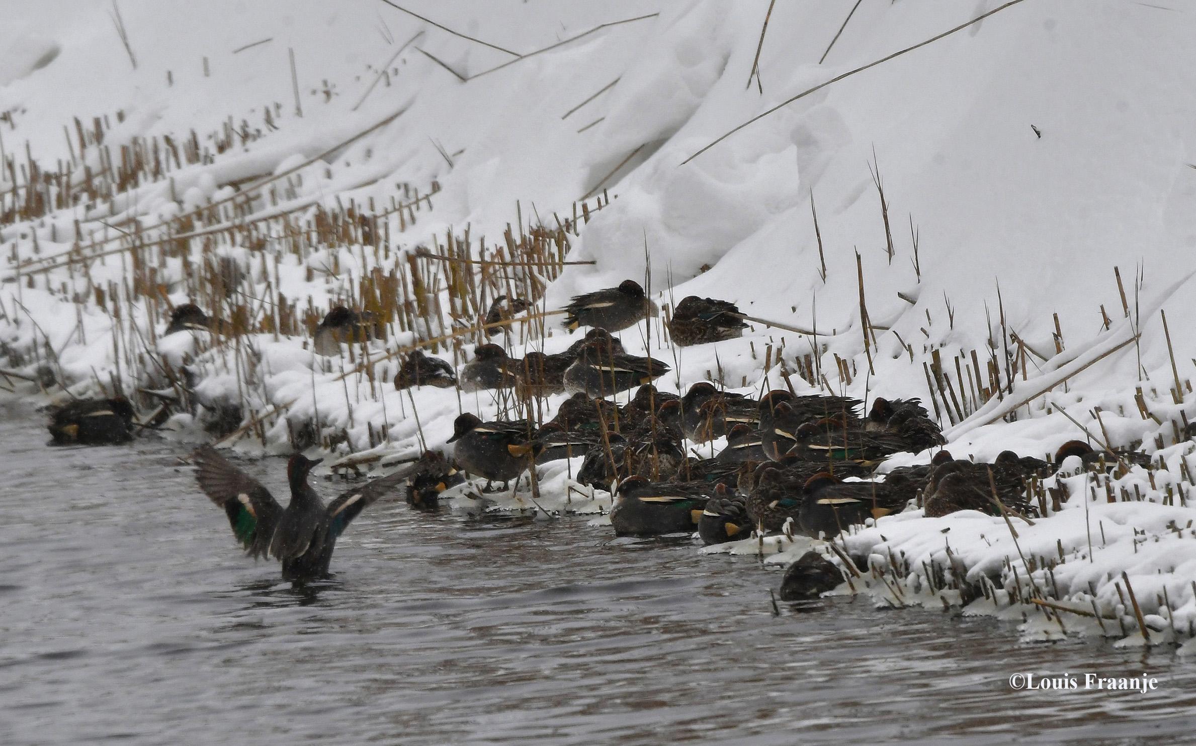 Een hele koppel wintertalingen bij een wak - Foto: ©Louis Fraanje
