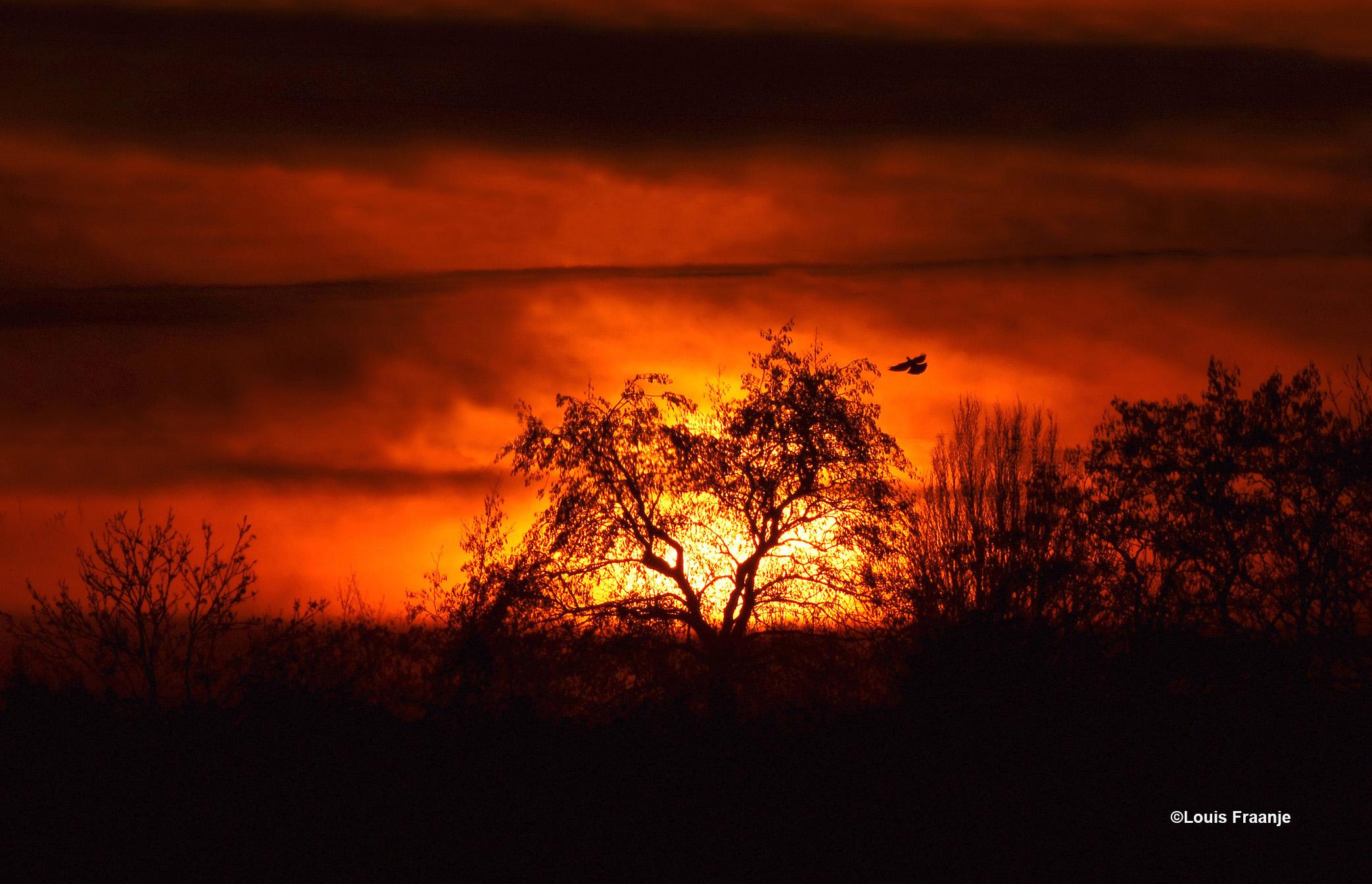 Zonsondergang achter een prachtige kromgegroeide boom met de aanvliegende duif - Foto: ©Louis Fraanje