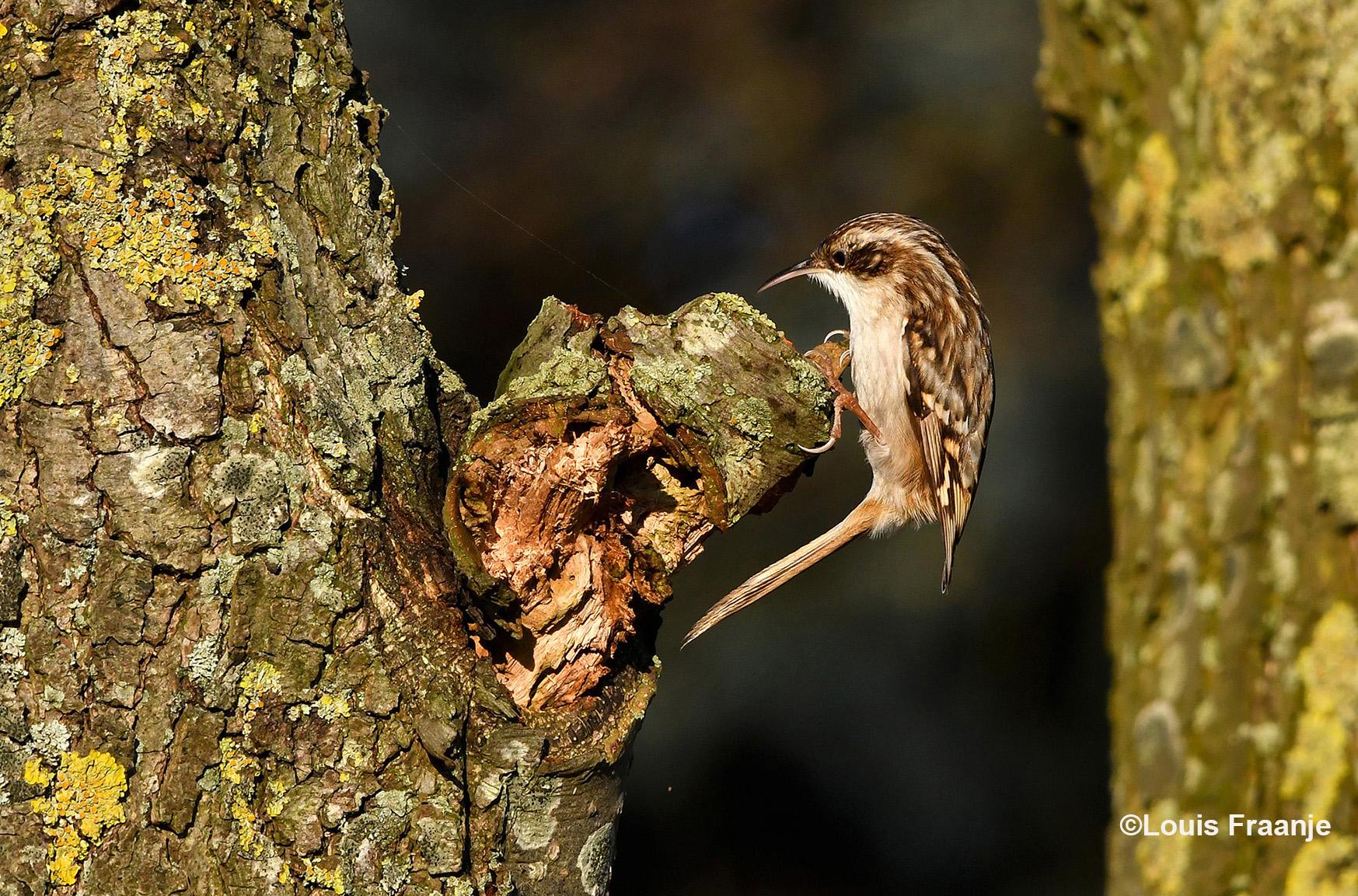 En dan zomaar ineens ergens in de boom, een piepklein vogeltje het is de Boomkruiper - Foto: ©Louis Fraanje