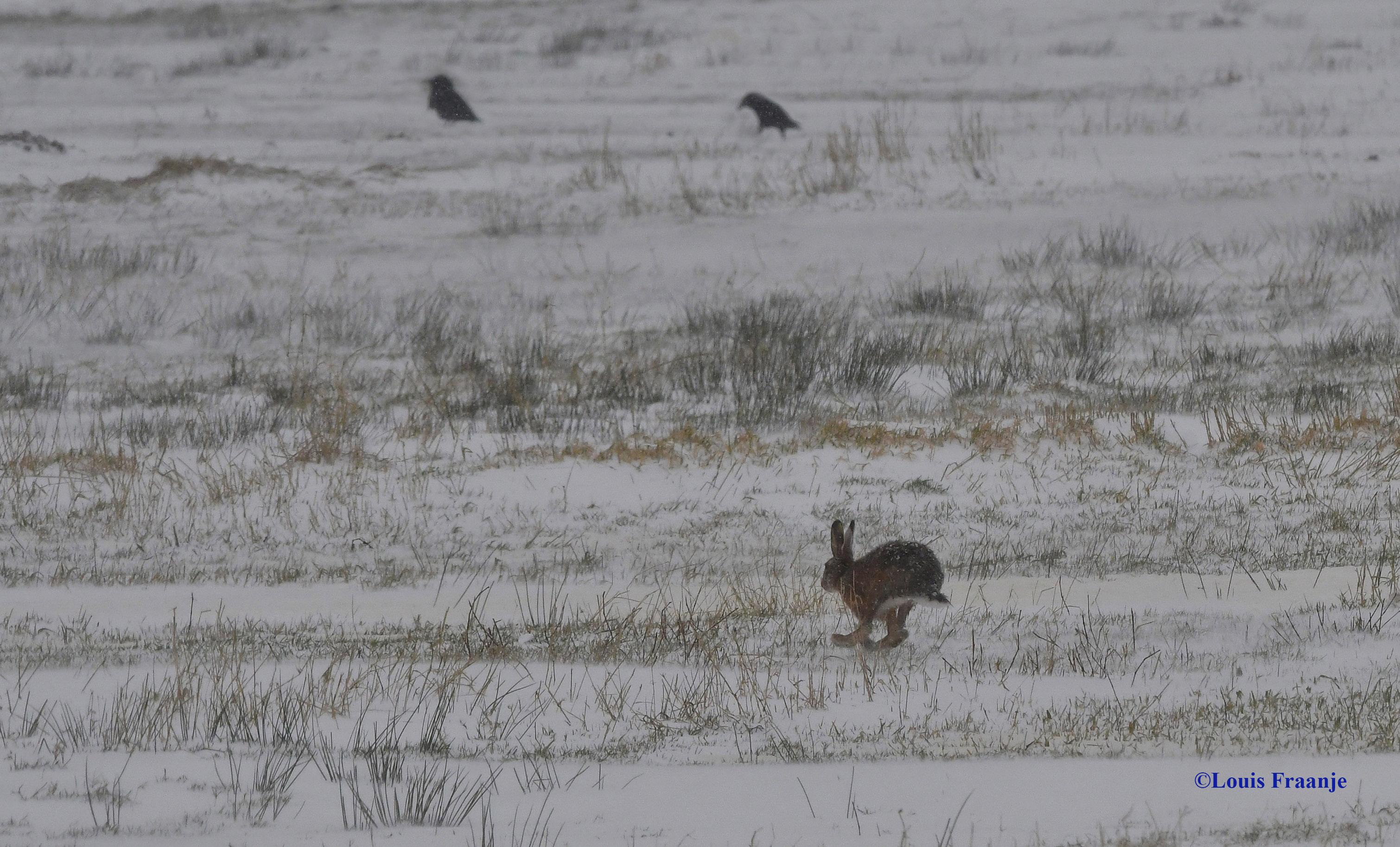 Een haas gaat er als een speer vandoor, maar de roeken kijken niet op of om - Foto: ©Louis Fraanje