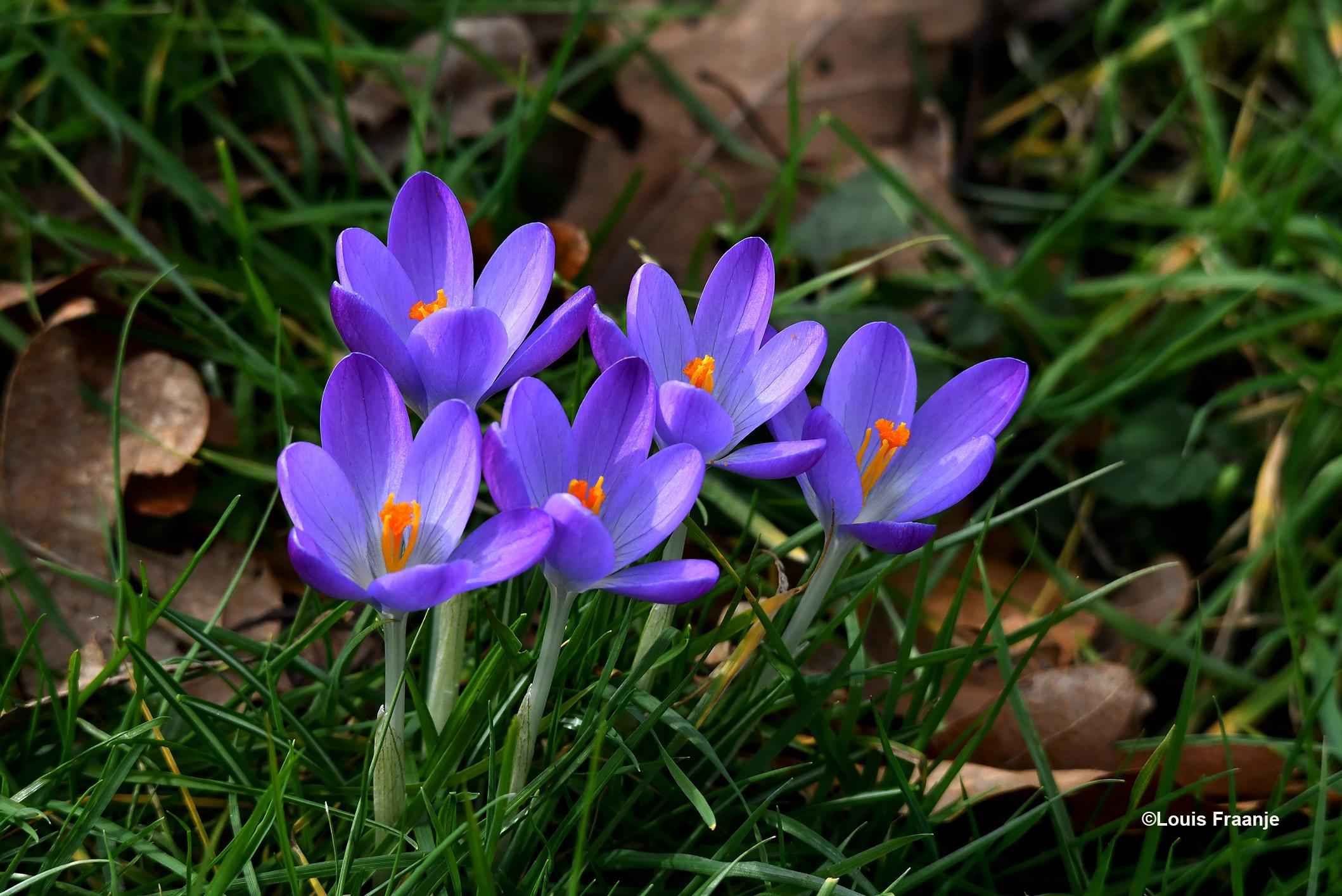 De fleurige crocussen geven aan het geheel toch ook weer een 'blij' gevoel, dat is de natuur... het samenspel tussen dood en leven - Foto: ©Louis Fraanje