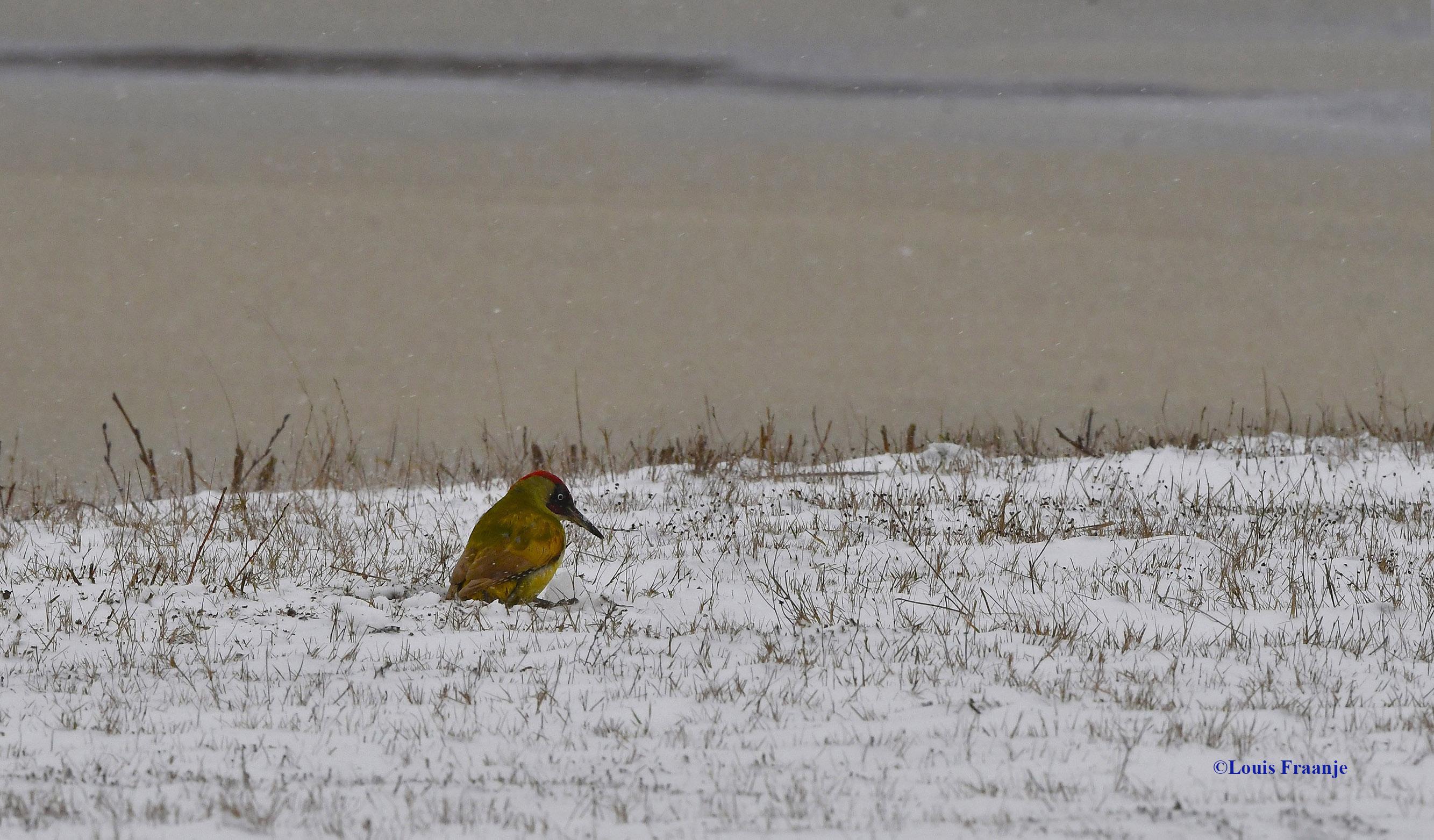 En dan... ineens... aan de rand van een bevroren plas, zit daat een groene spechtenman in de sneeuw te hakken - Foto: ©Louis Fraanje