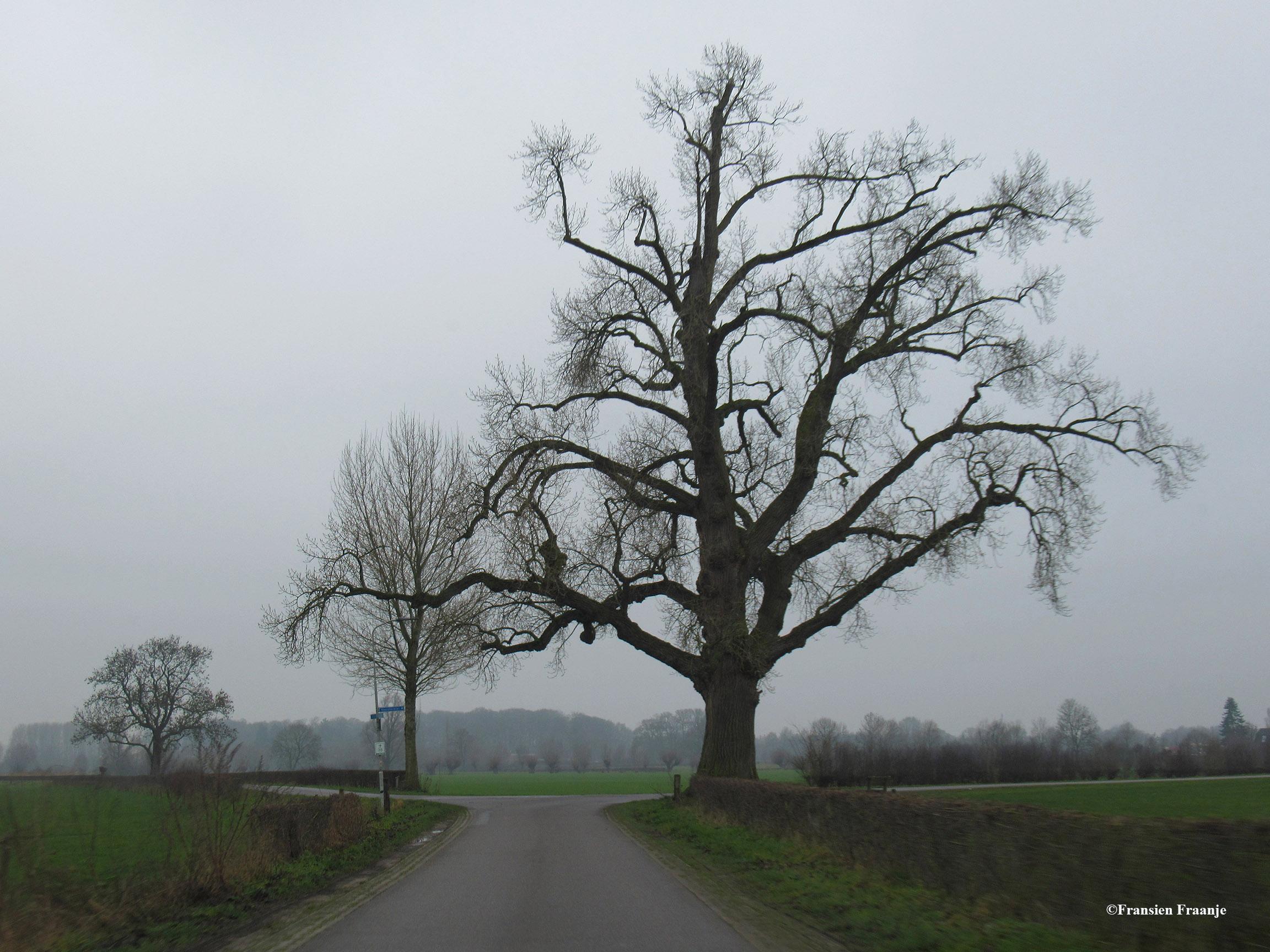 In de Voorsterklei, vlak bij het fraaie kerkdorpje Voorst, staat een Zwarte Populier (Populus nigra) . Dit is een vertegenwoordiger van de oorspronkelijke, wilde Europese soort, die in Nederland bijna was uitgestorven. Dit markante exemplaar in de Voorster klei, met een hoogte van 26 meter en een omtrek van 500 cm (aug. 2002), is waarschijnlijk ruim 100 jaar oud. - Foto: ©Fransien Fraanje