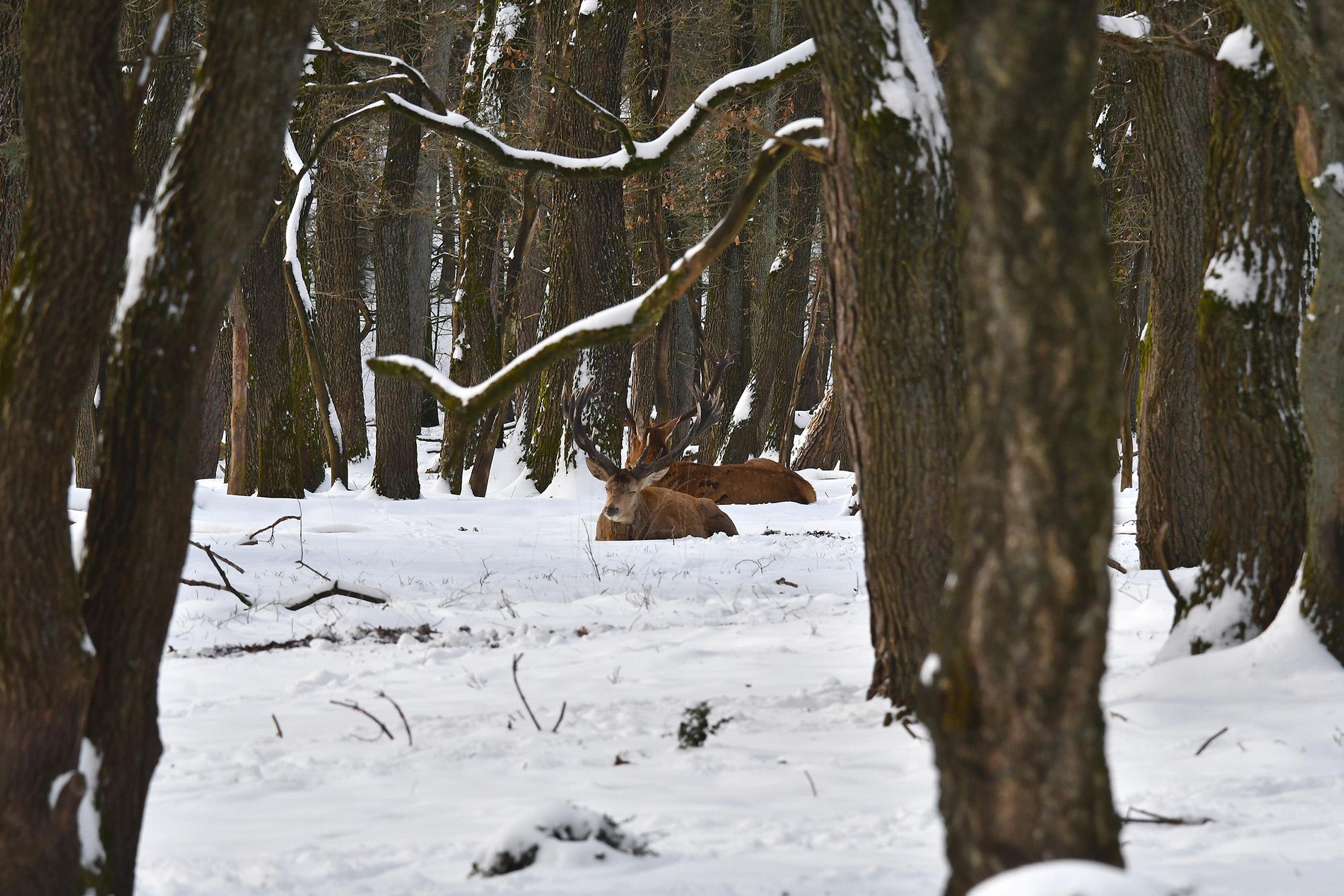 Na enig speuren tussen de bomen door, zien we het ons zo bekende hert Hubertus - Foto: ©Louis Fraanje
